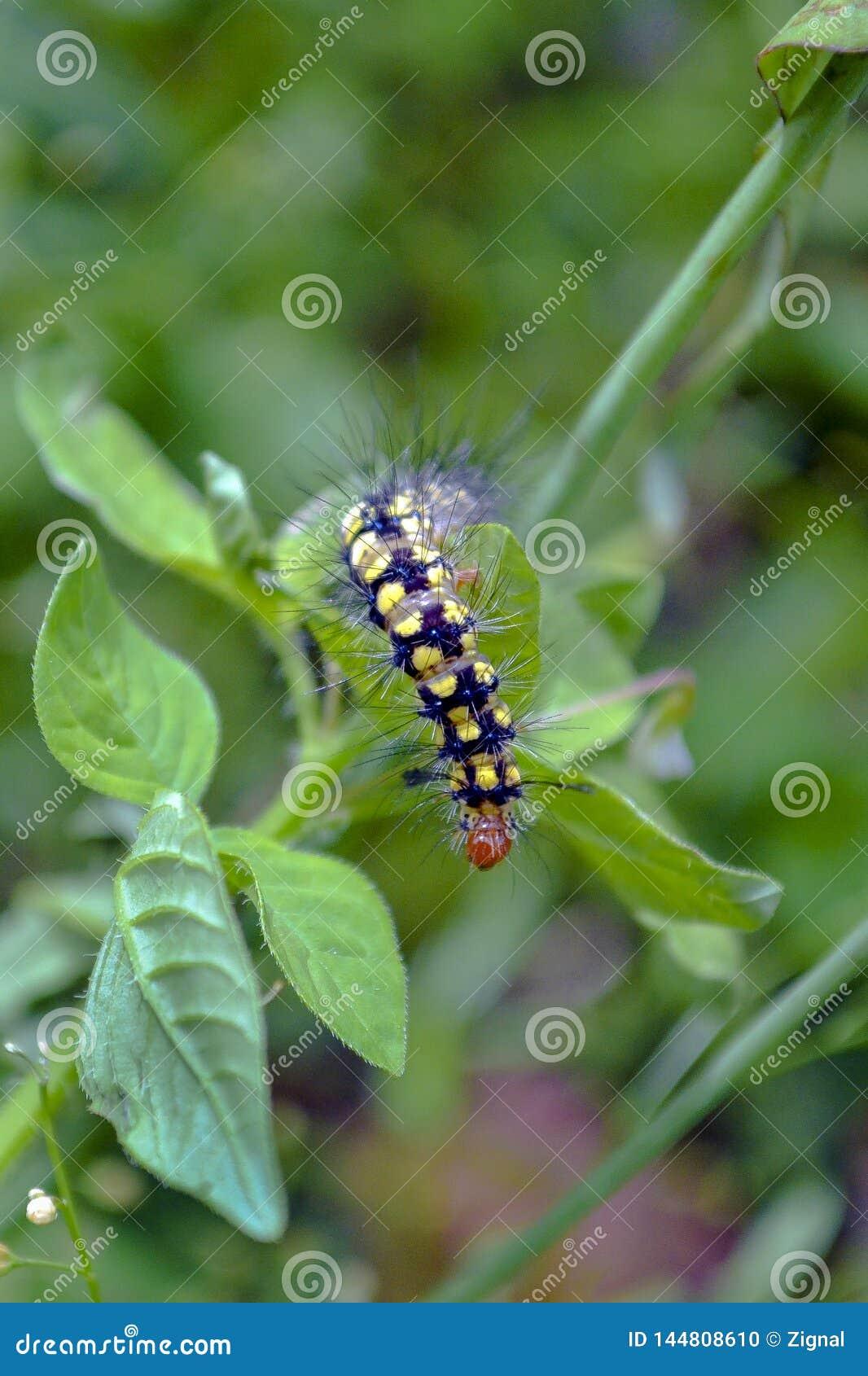 Пребывание гусеницы на лист