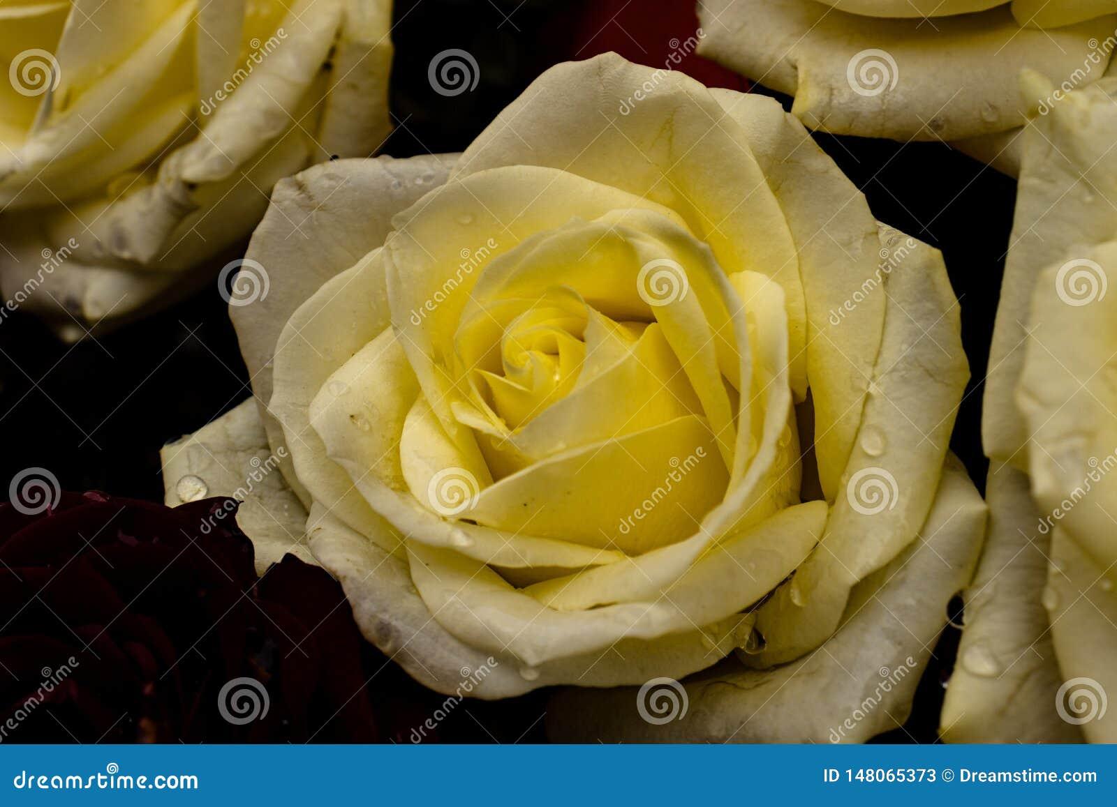 Превосходная желтая роза
