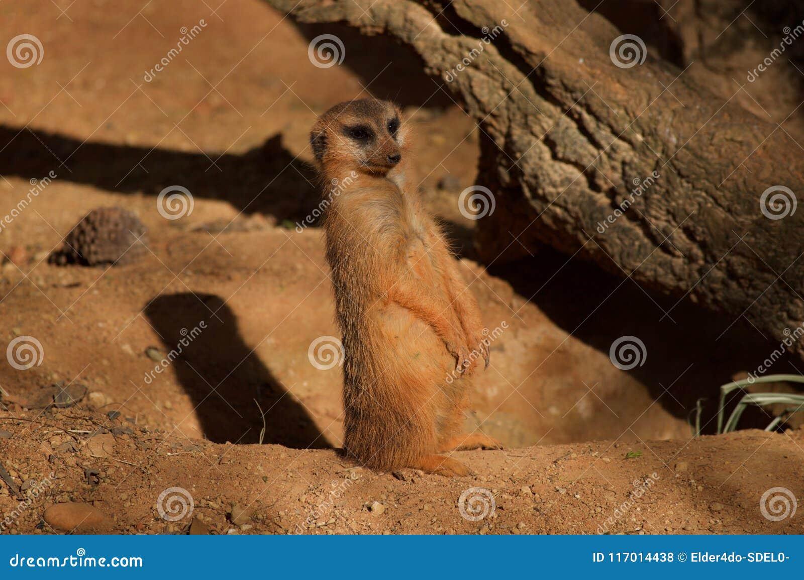 Предохранитель положения Meerkat самостоятельно