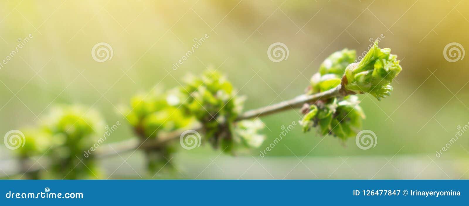 Предпосылка весны с ветвью и зацветая молодыми листьями зеленого цвета C