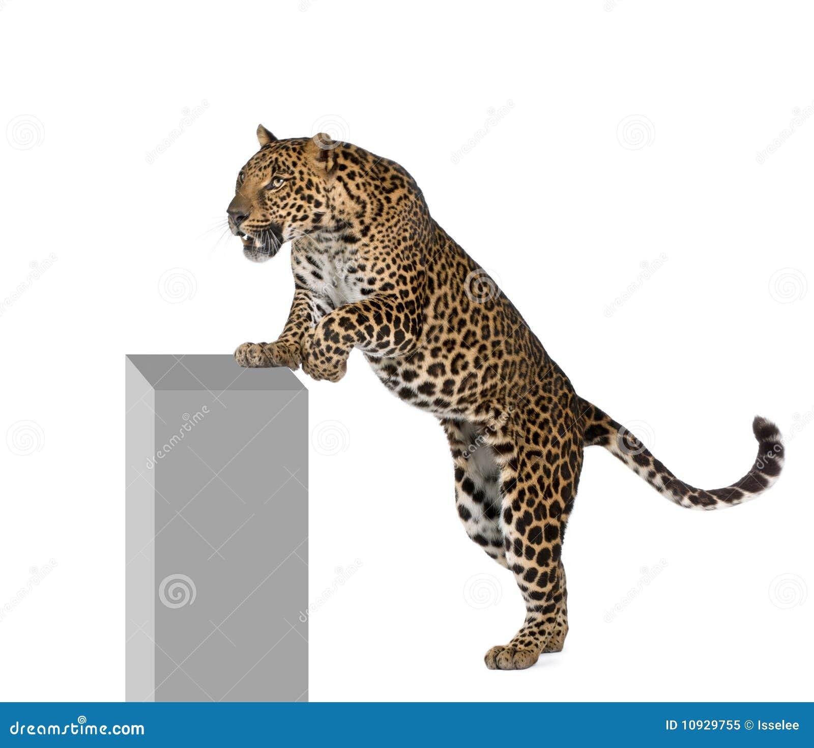 предпосылка взбираясь передняя белизна леопарда