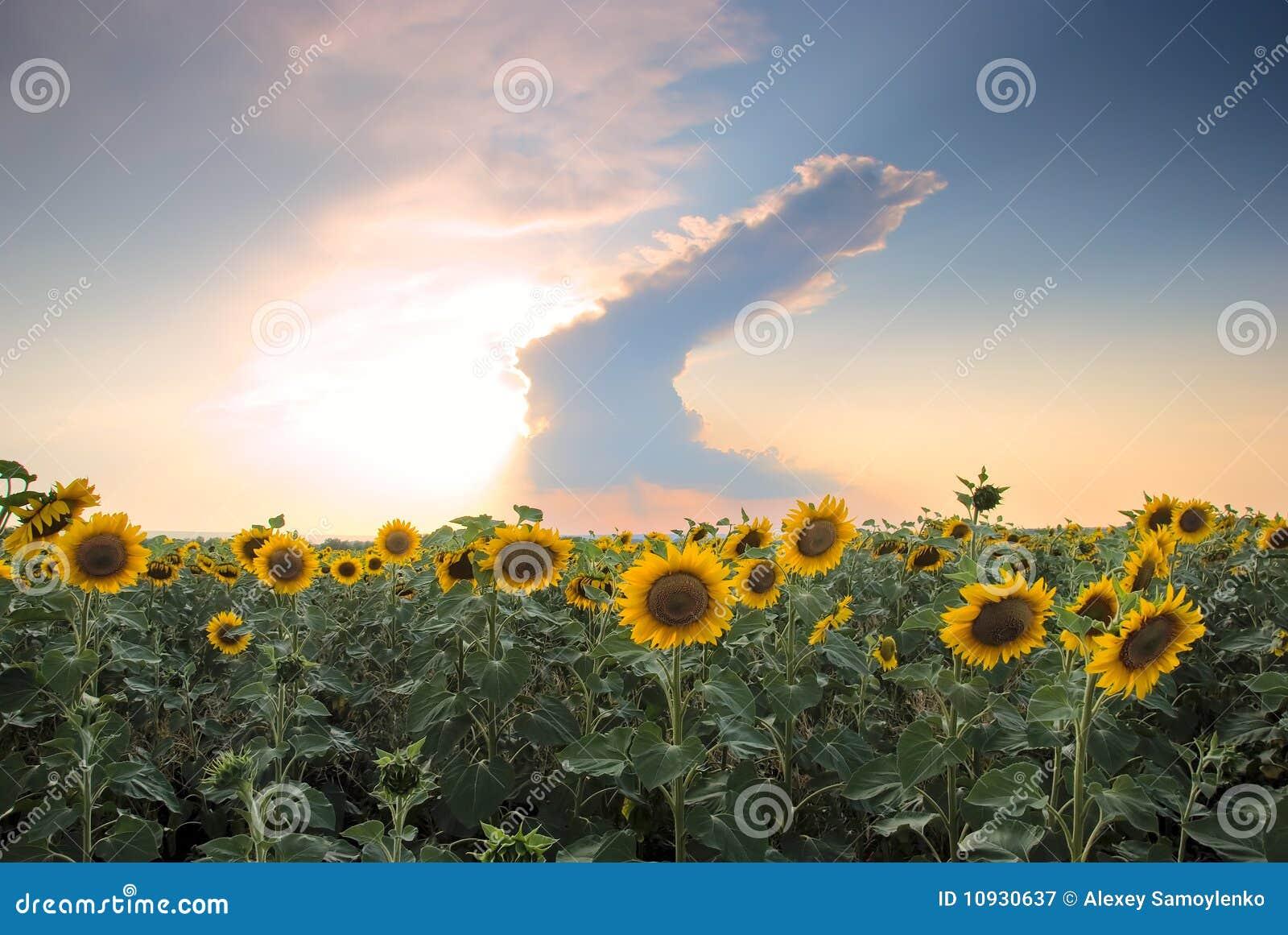 предпосылка заволакивает солнцецвет поля бурный