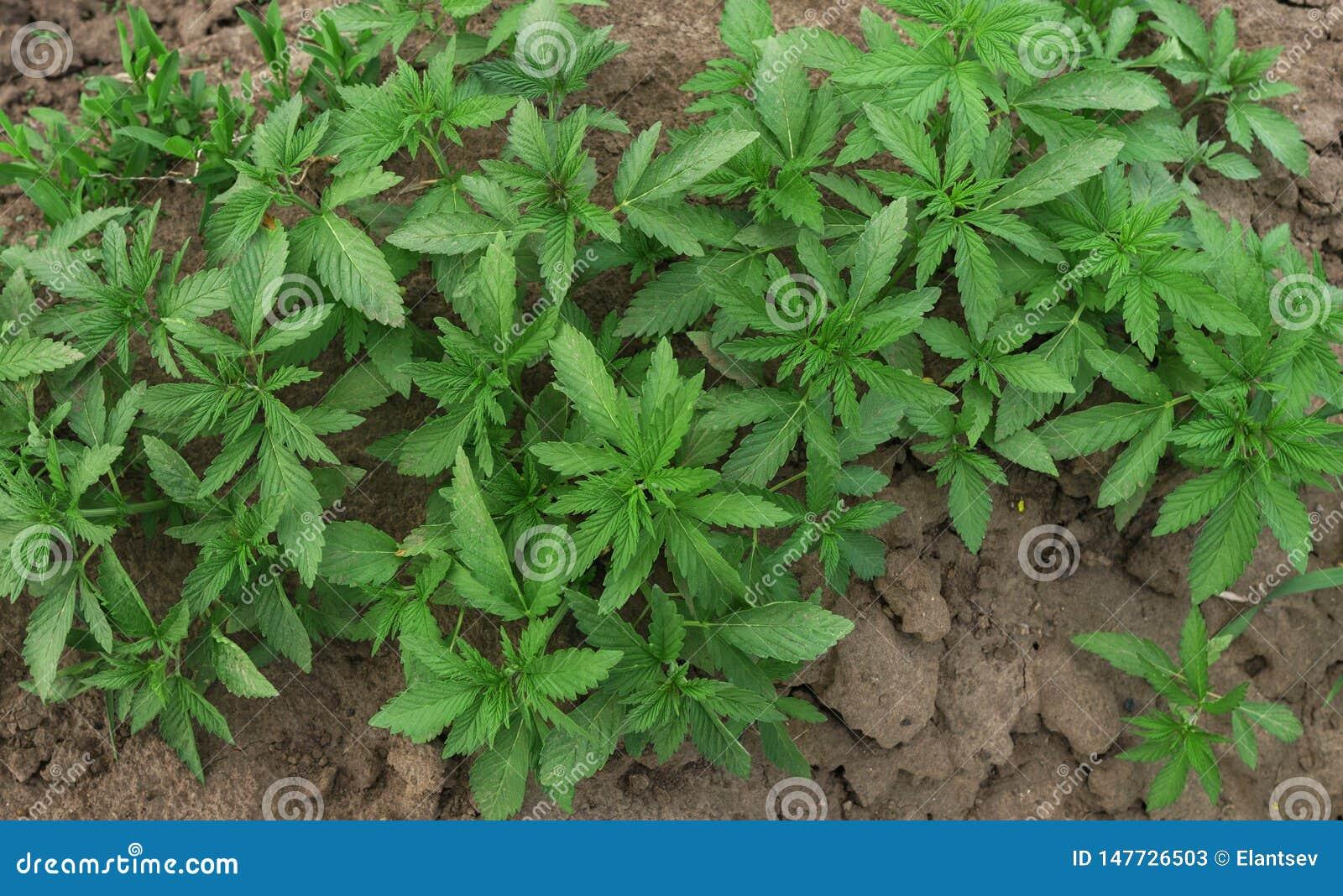 Фото всходов конопли варить марихуану