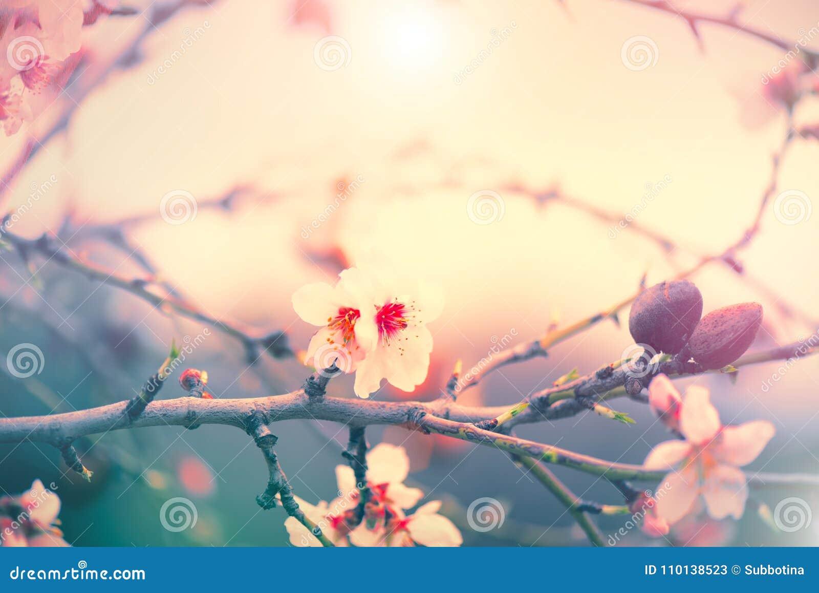 Предпосылка природы весны с зацветая миндальным деревом Сцена праздника пасхи