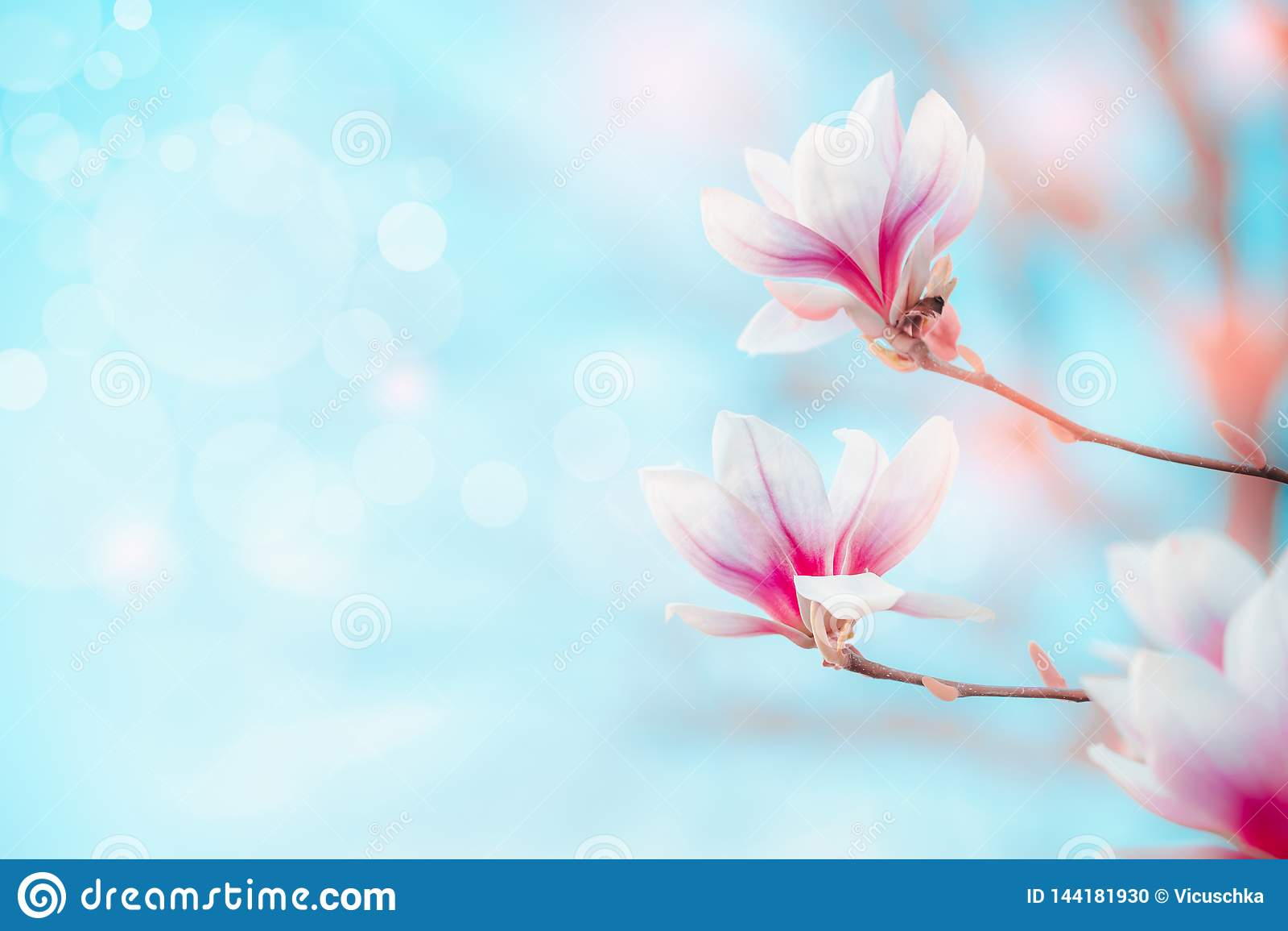 Предпосылка природы весны с милой магнолией зацветая на голубом небе с bokeh Концепция весеннего времени на открытом воздухе Цвет