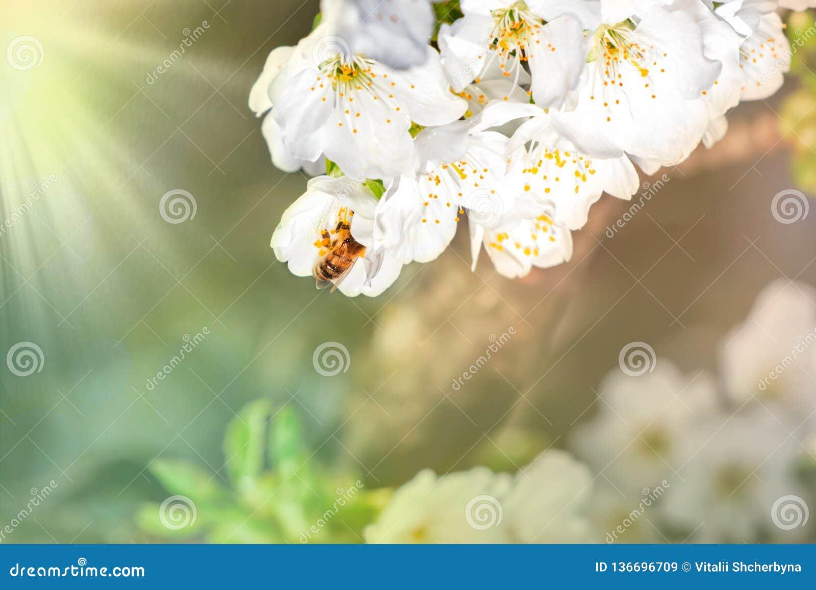 Предпосылка цветения весны Красивая сцена природы с зацветая деревом и солнце flare день солнечный just rained Красивый сад