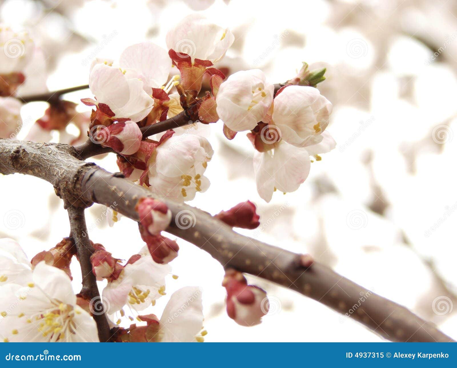 предпосылка цветет малая белизна весны