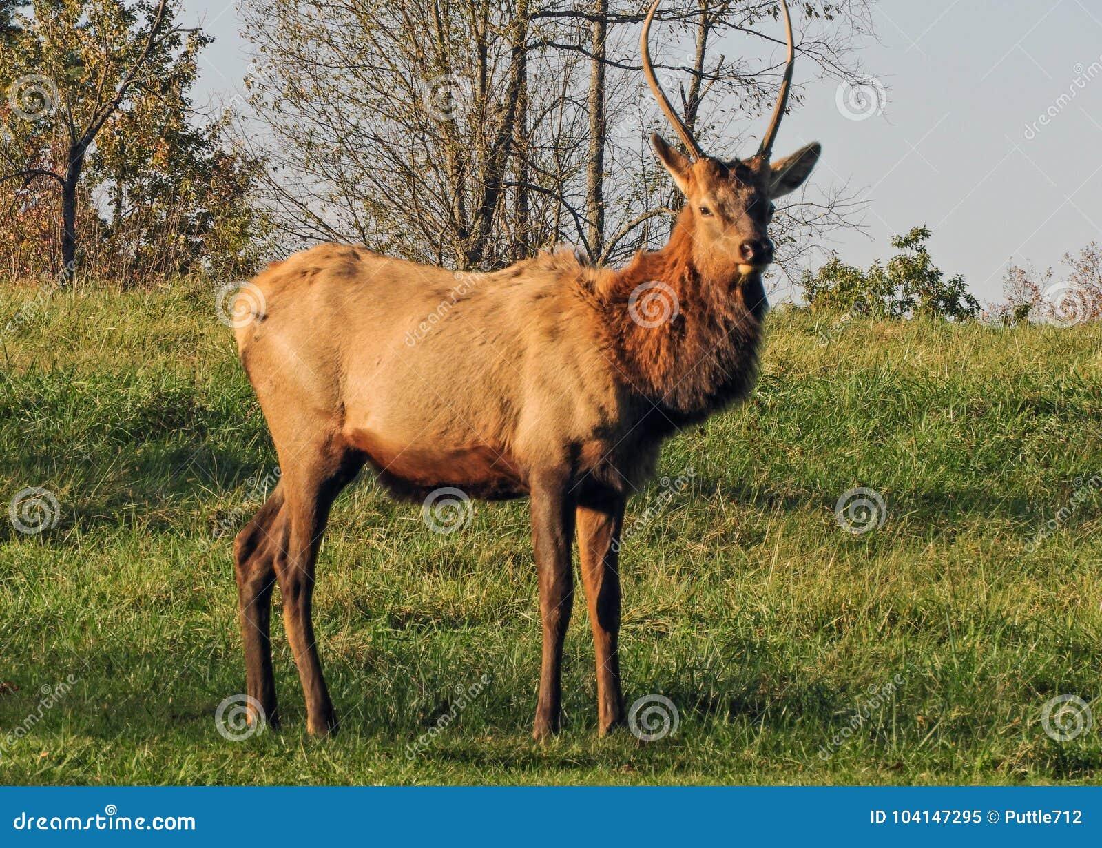 Представлять лося Bull