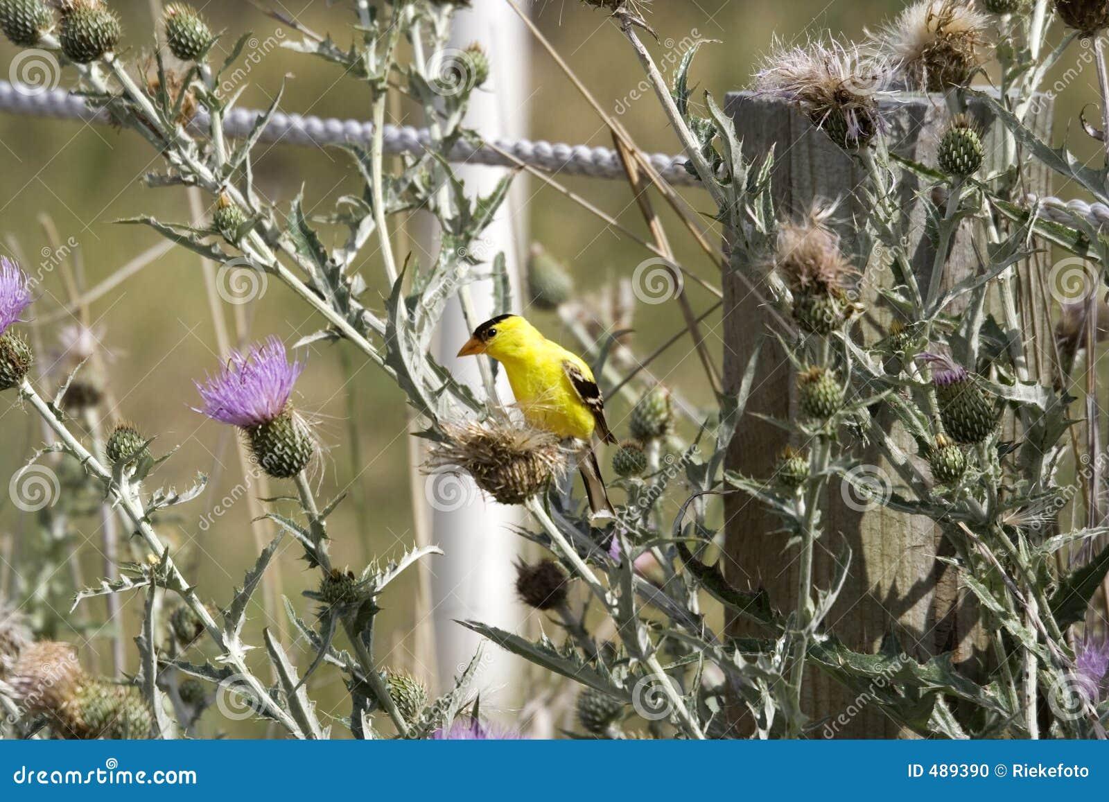 предупрежденный plumage goldfinch большой смотря