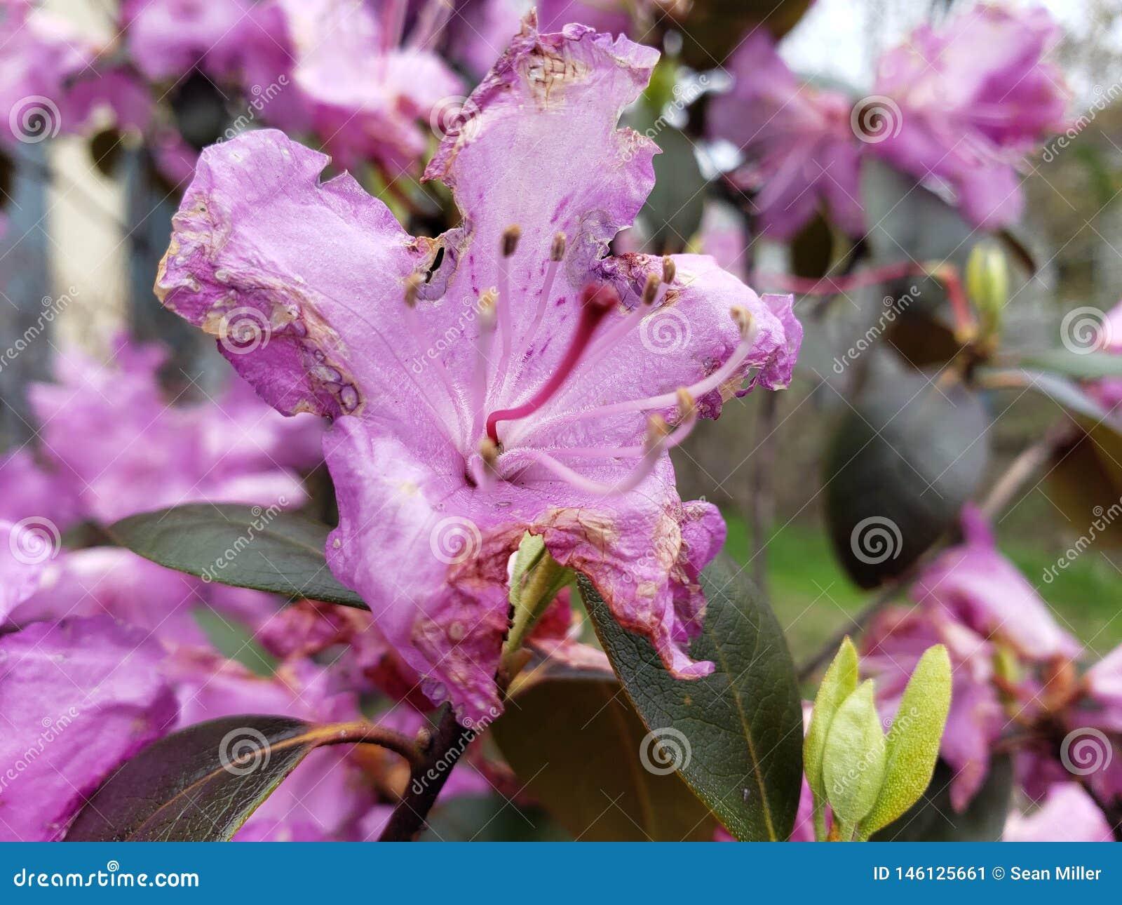 Предыдущий умирать цветков весны