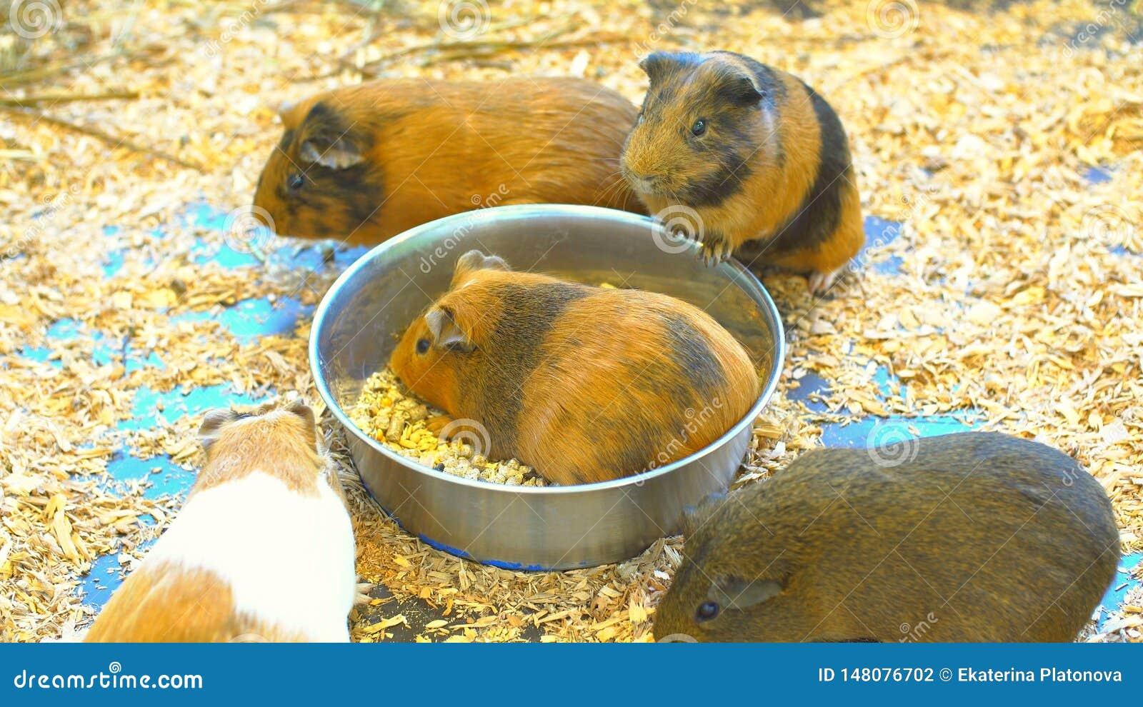 Прекрасные морские свинки