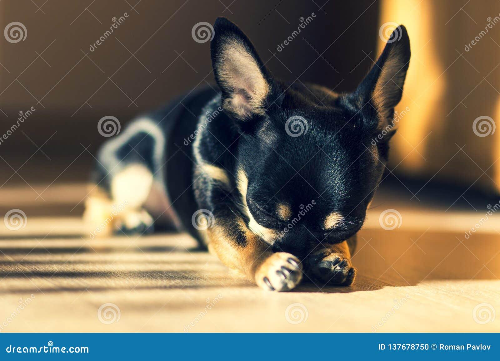 Прекрасный маленький черный щенок чихуахуа