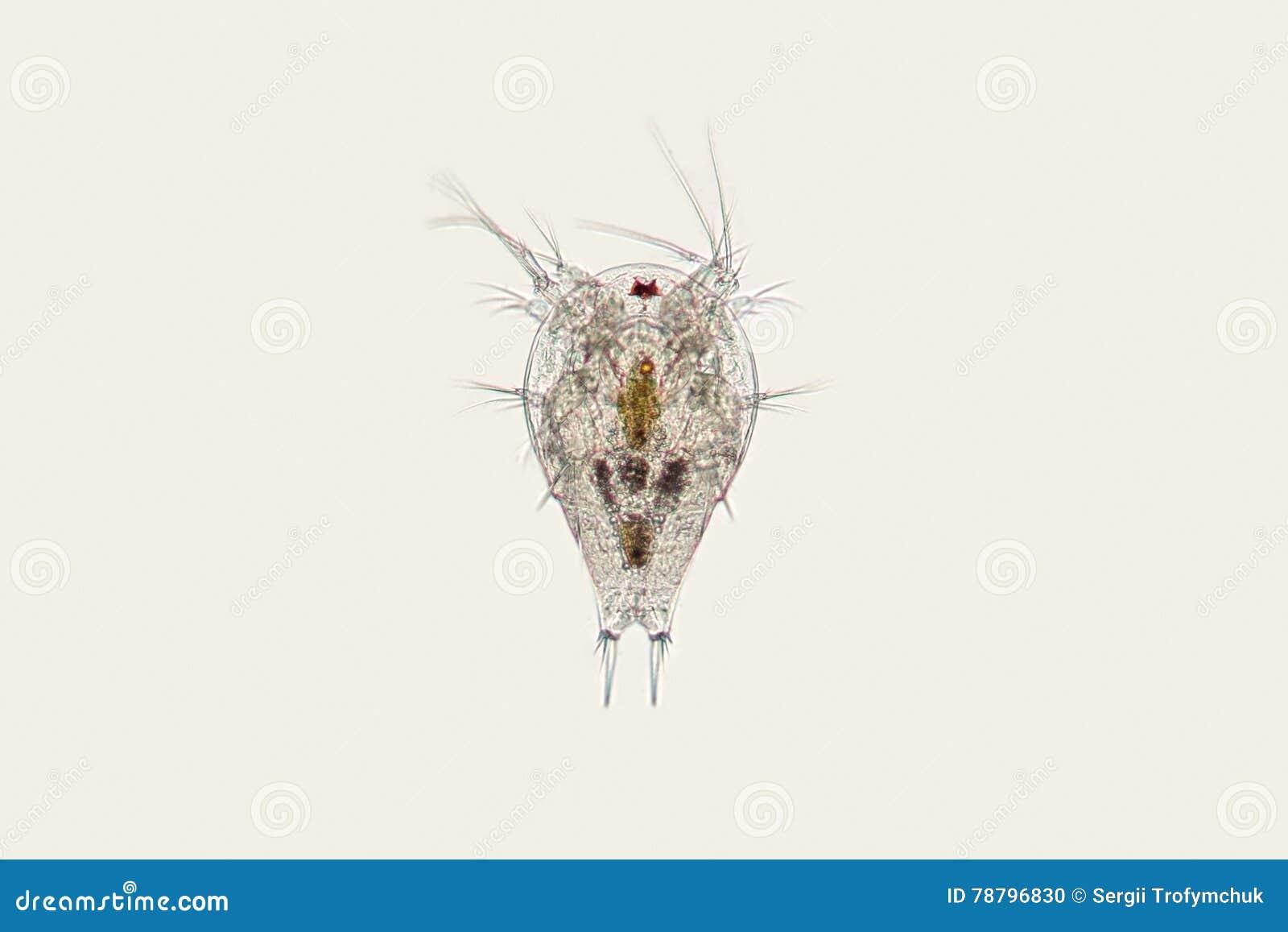 Пресноводная личинка Nauplius copepod зоопланктона Микроскопическое ракообразное