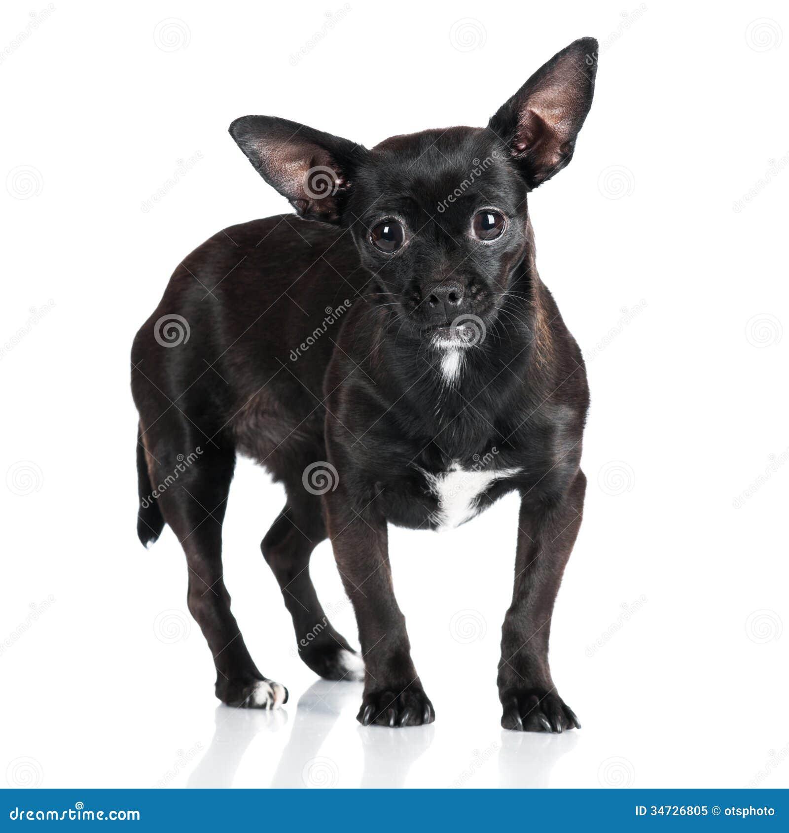 черный маленький пес