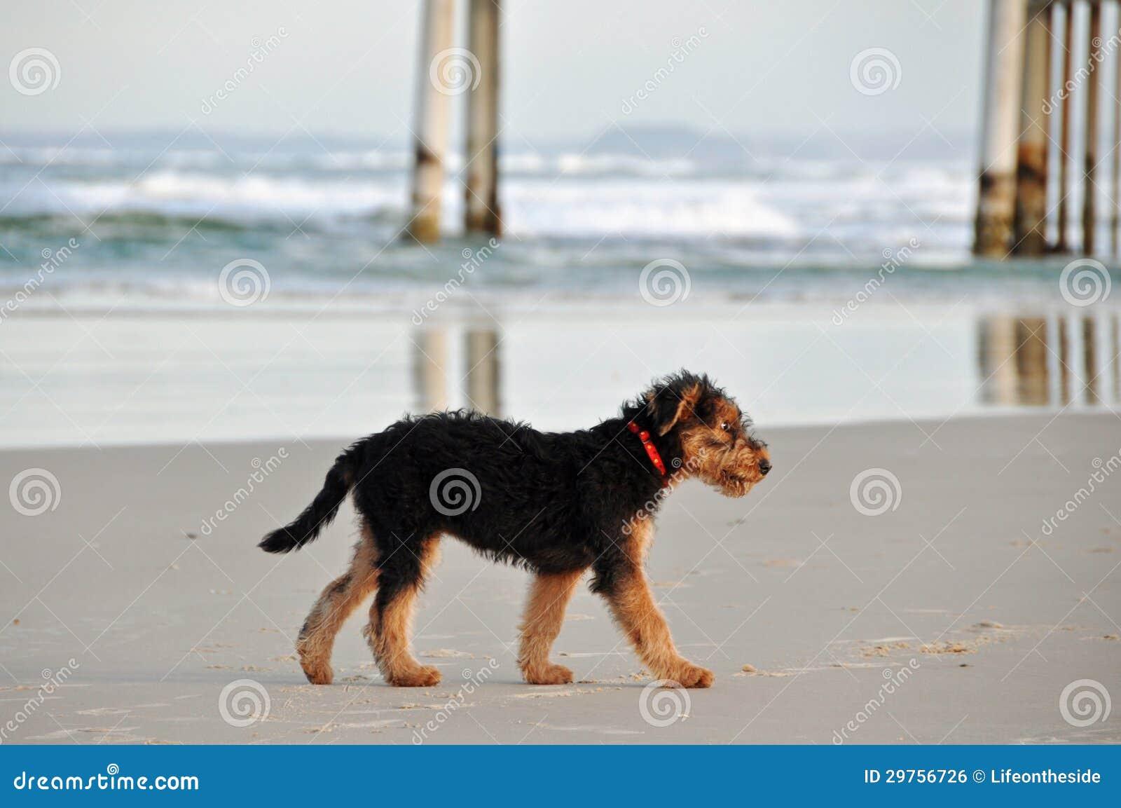 Щенок Terrier Airedale самостоятельно потерянный на пустом прибое