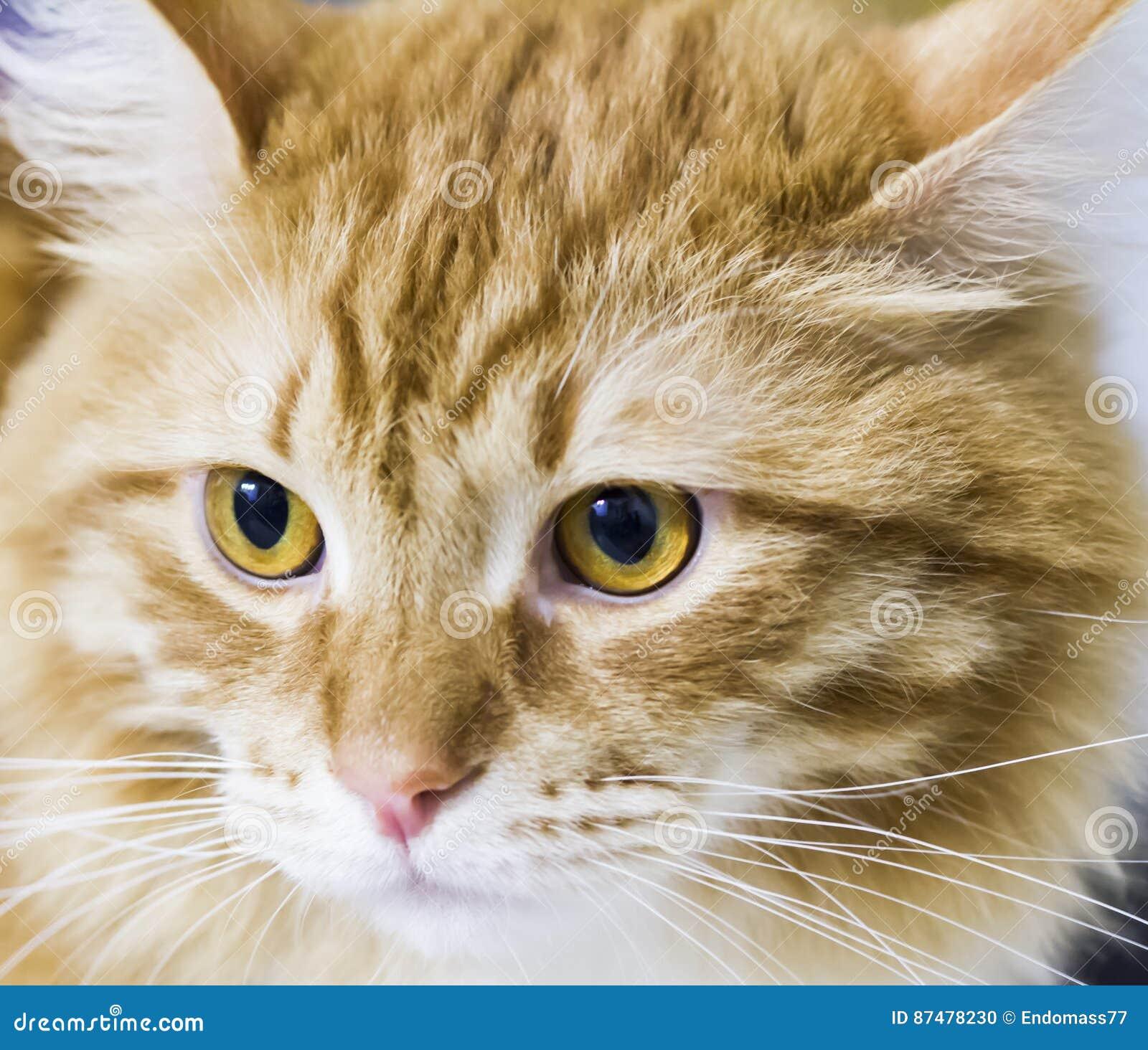 Прелестный кот сибирской породы, красной версии