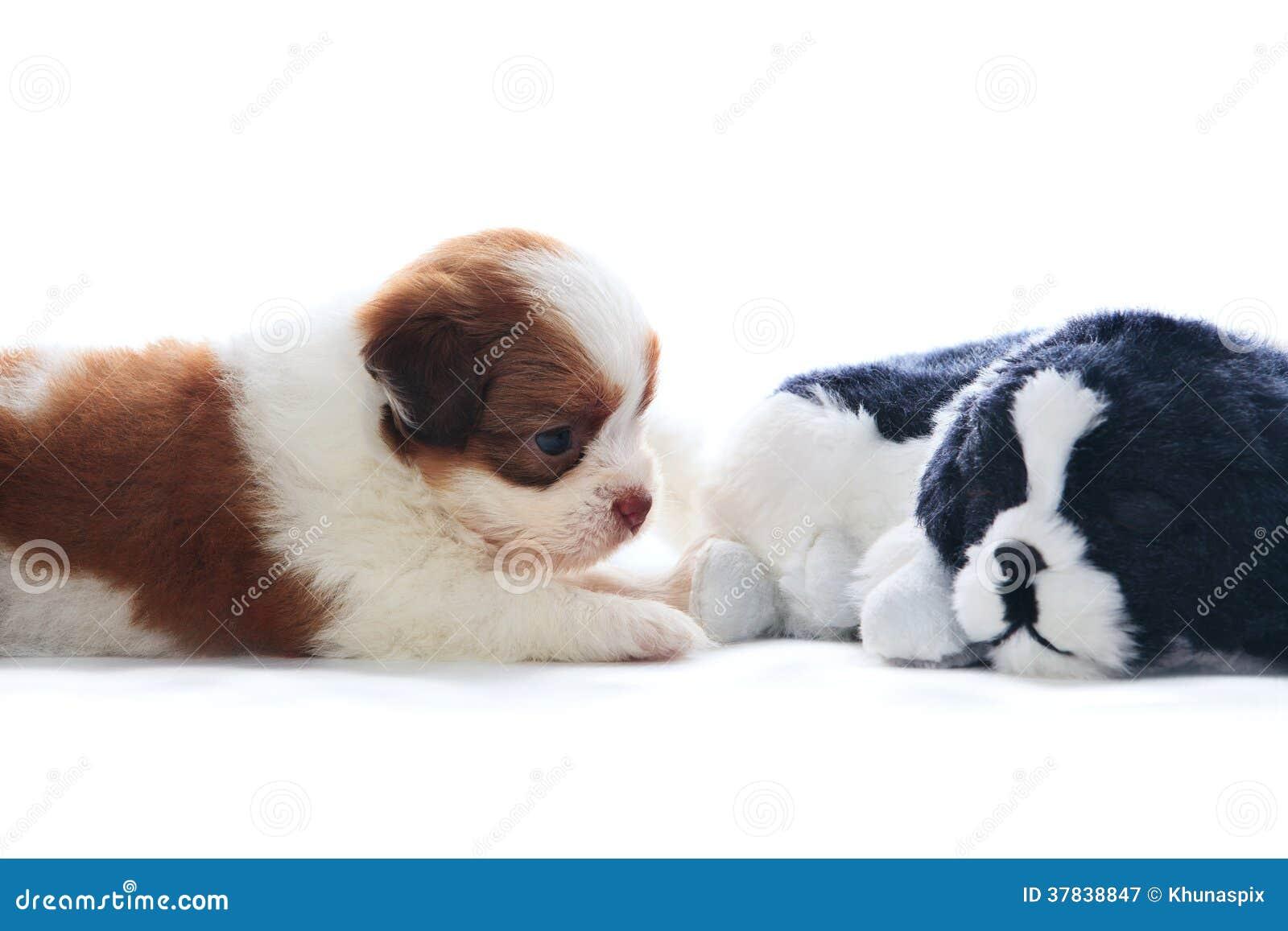 Прелестный собаки щенят tzu shih родословной rekaxing и лежа дальше
