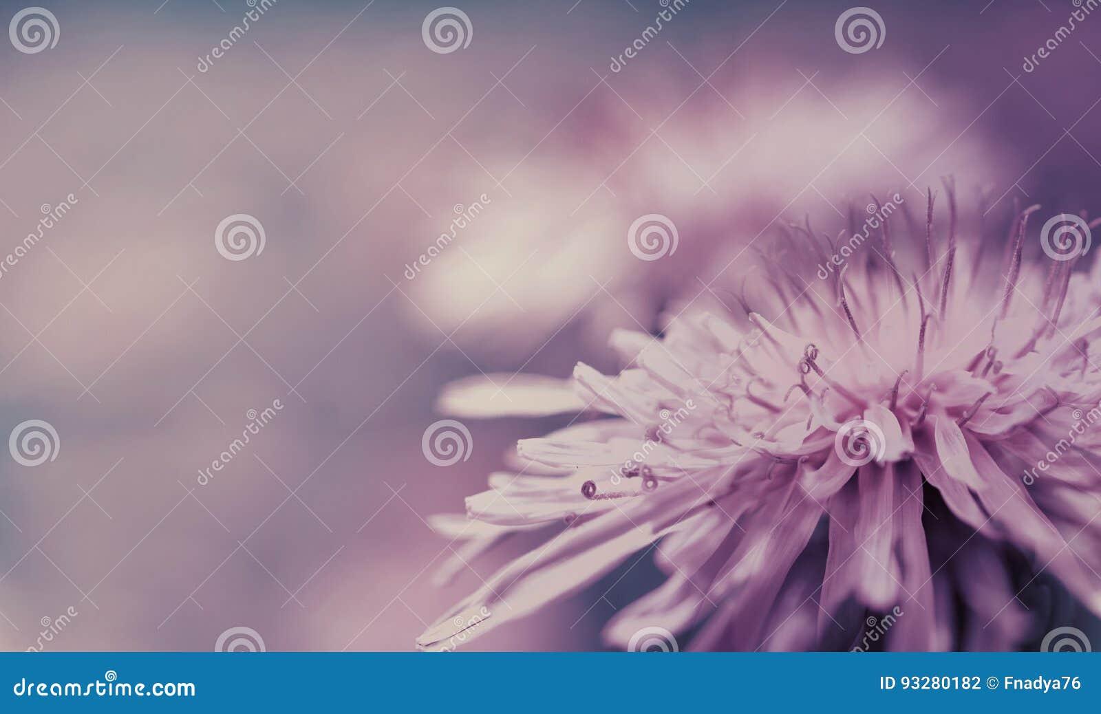 Предпосылка весны розов-голубая Розовый цветок одуванчика на фиолетовой предпосылке closeup Для конструкции Взгляд со стороны