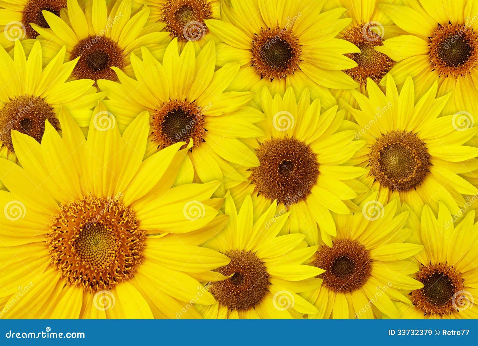 Предпосылка солнцецветов