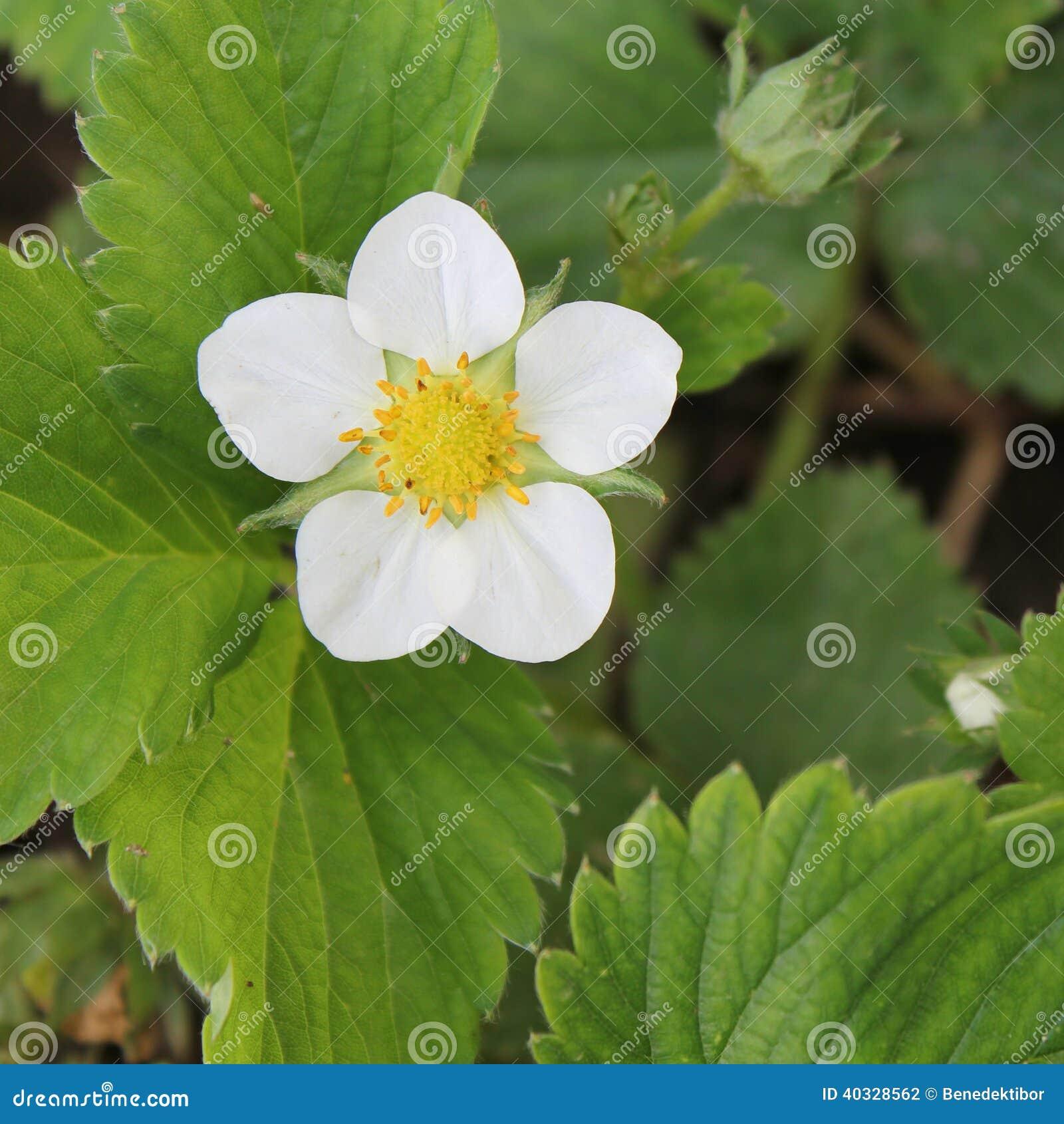 Предпосылка цветка клубники