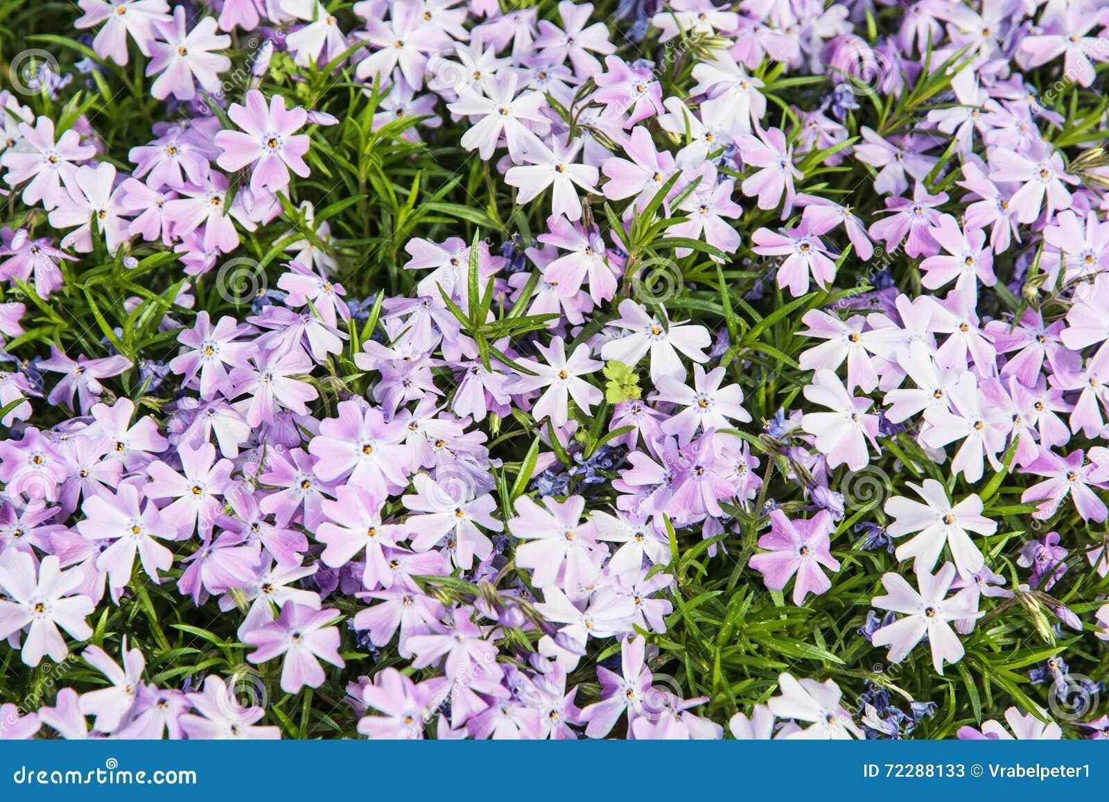 Download Предпосылка Subulata флокса цветет - флокс проползать, садовничая Стоковое Изображение - изображение насчитывающей расти, естественно: 72288133