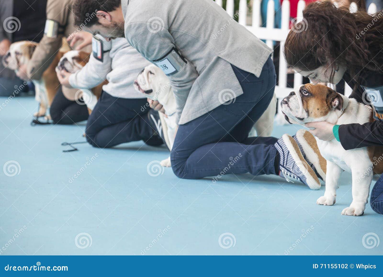 Предприниматели с великобританскими бульдогами во время состязания выставки собак