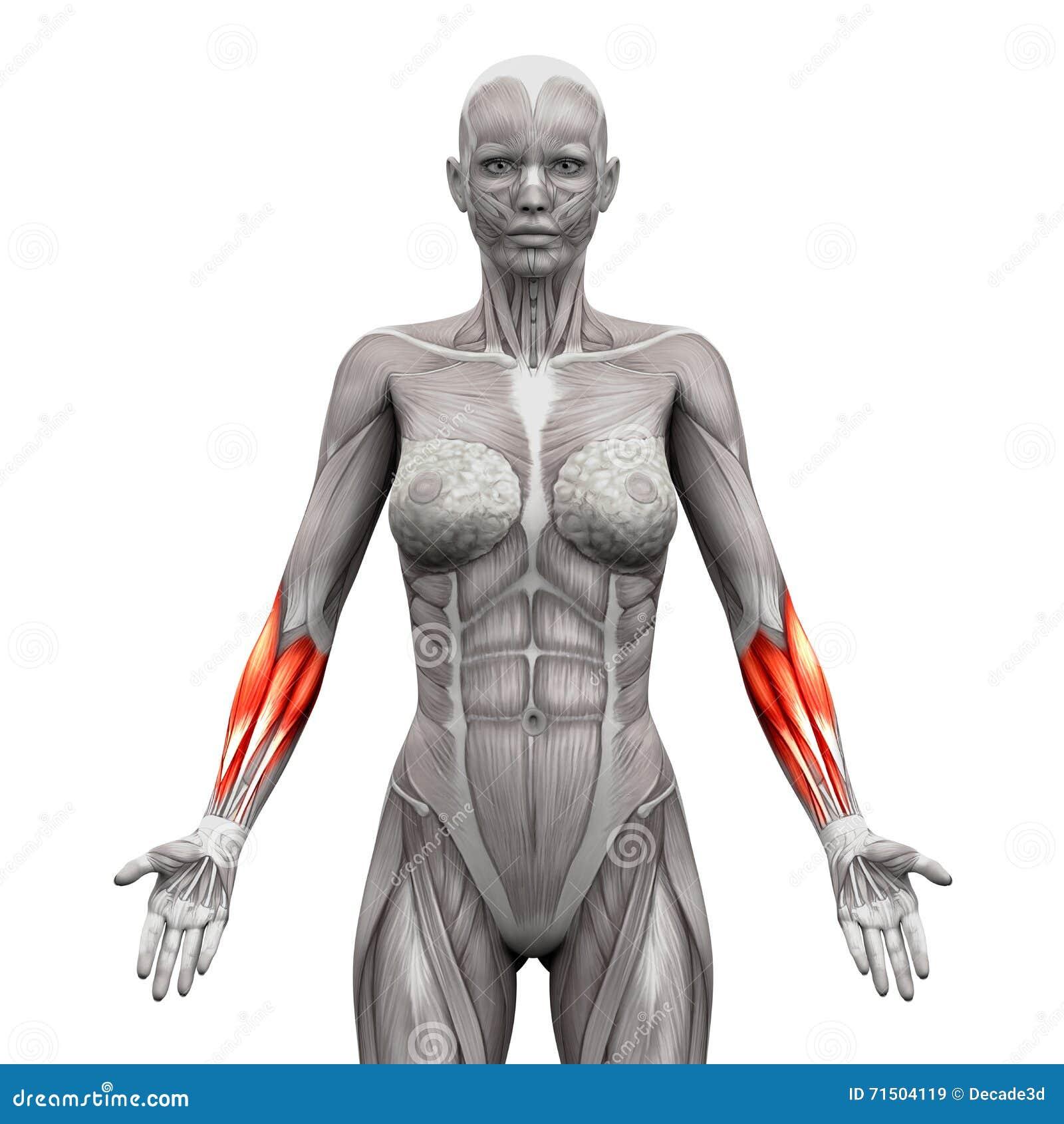 Предплечье Muscles - мышцы анатомии изолированные на бело- illustr 3D