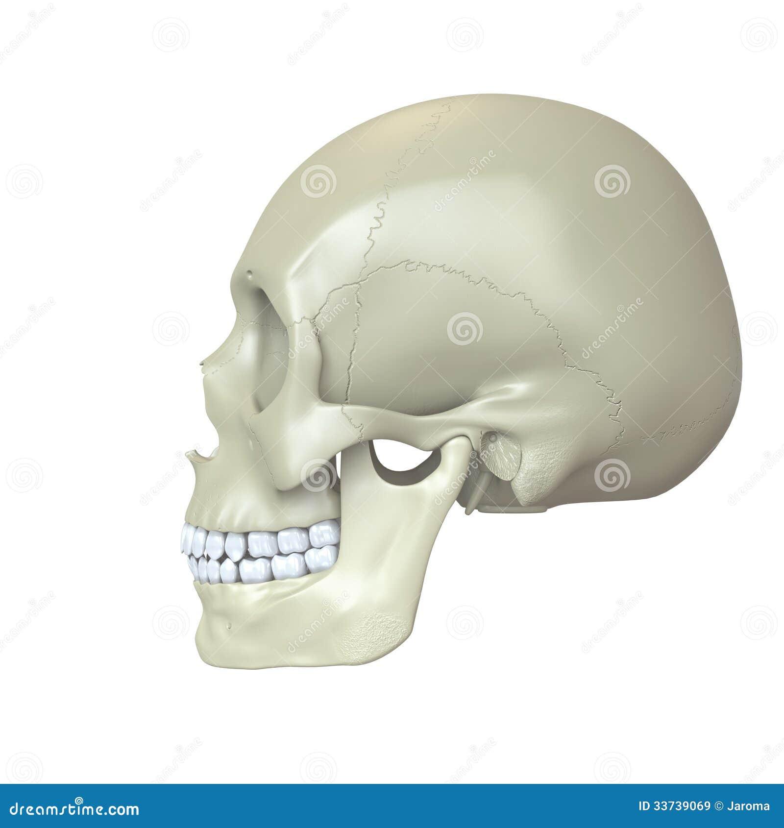Представленный человеческий череп