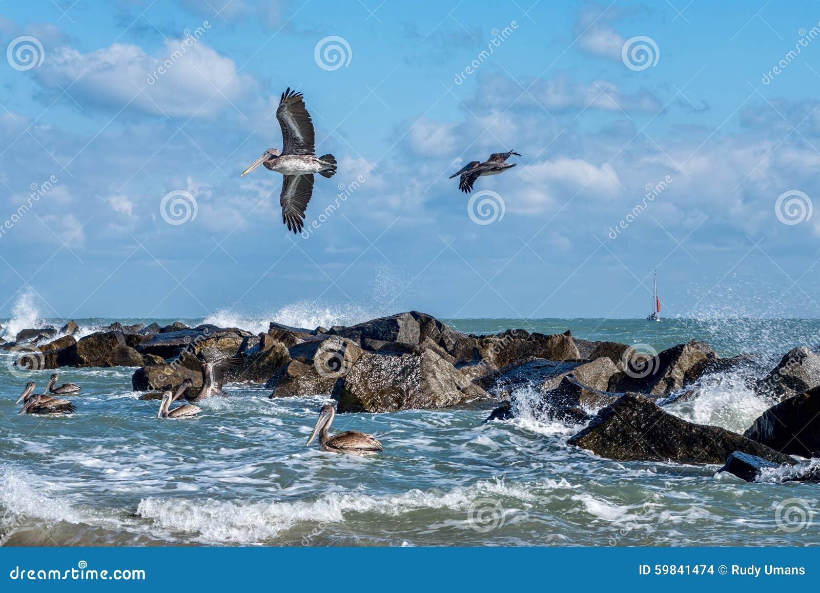Прибрежные пеликаны Брайна