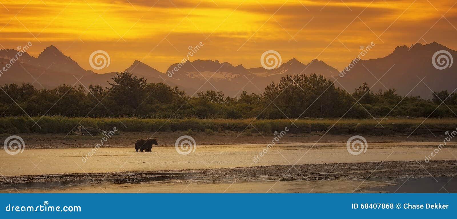 Прибрежный бурый медведь