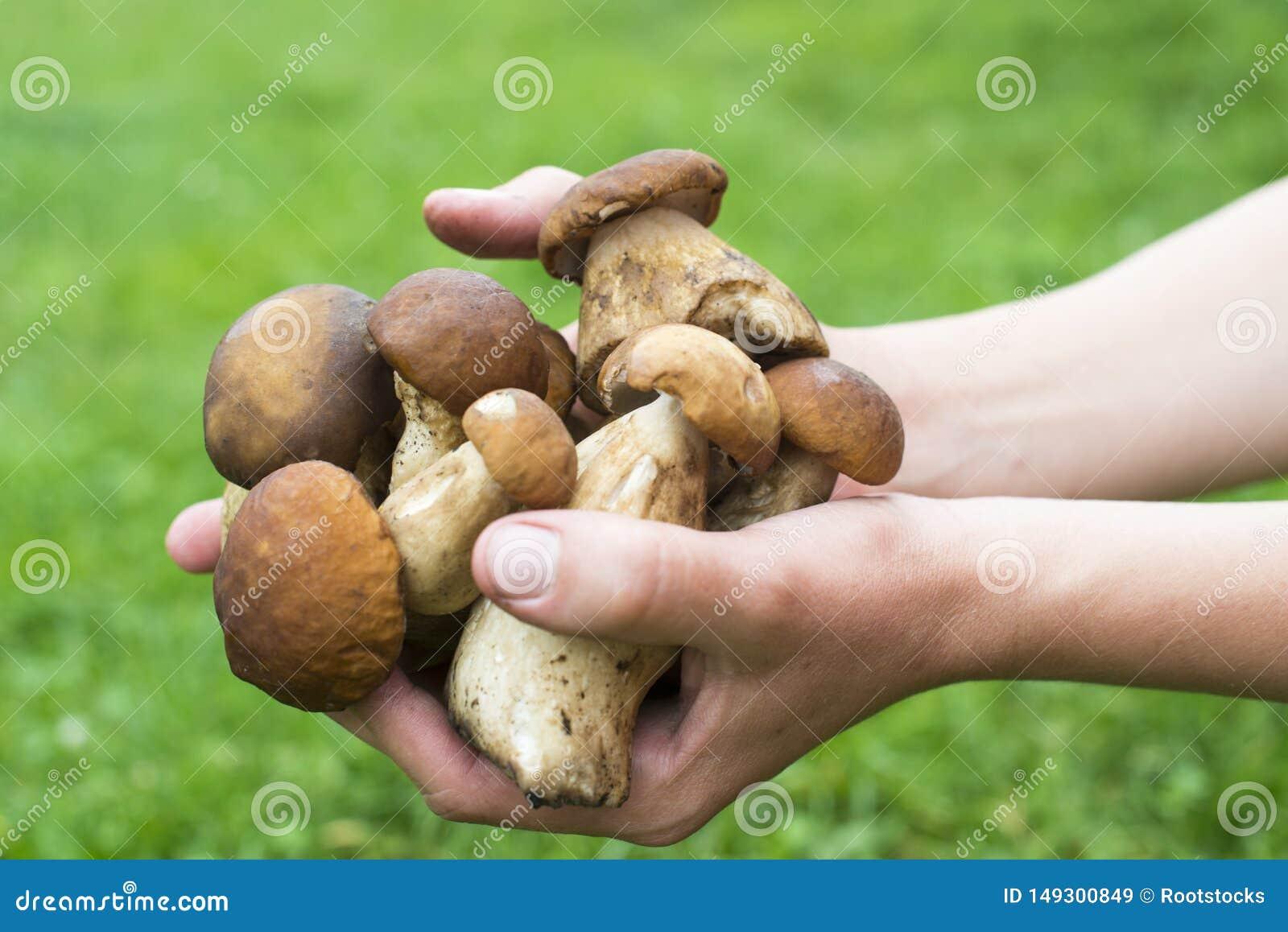 Пригорошня грибов porcini