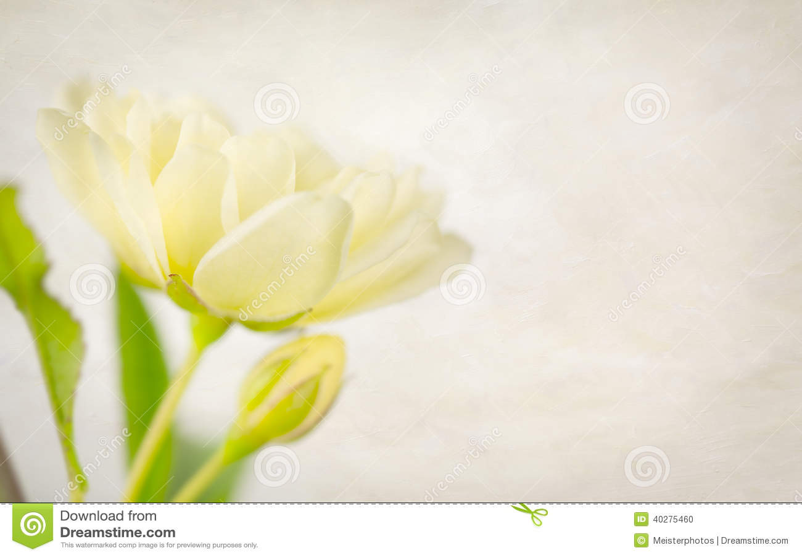 Приглушенные желтые роза и бутон с текстурой
