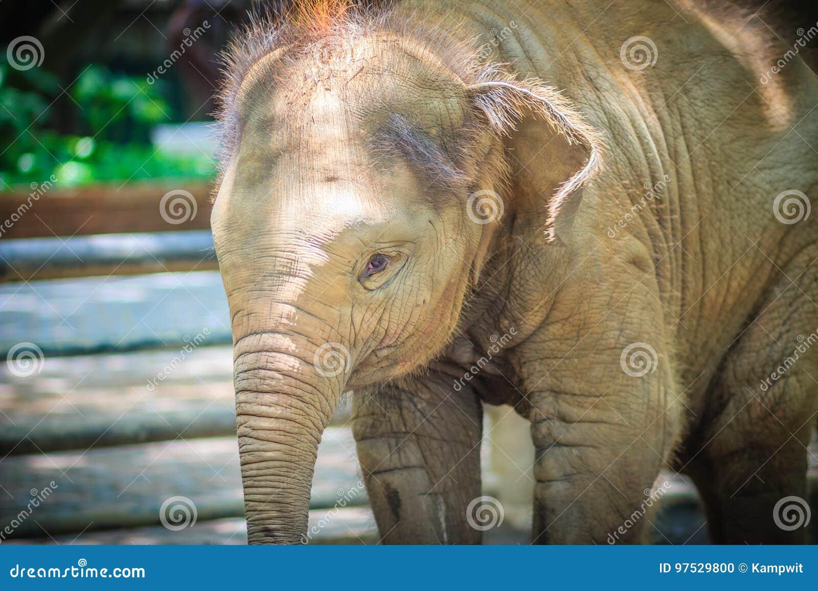 Приковывают молодой слона и глаз с разрывами смотрит настолько жалостливо