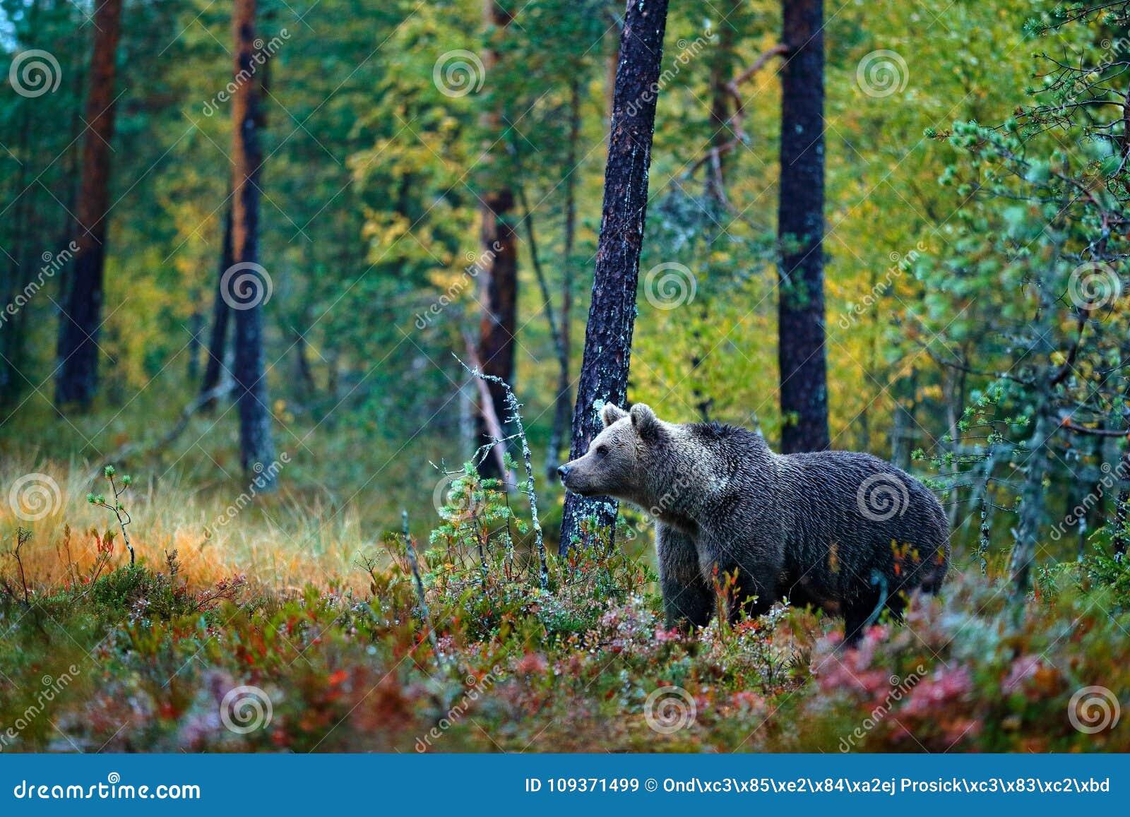 Принесите спрятанный в желтых деревьях осени леса с медведем Красивый бурый медведь идя вокруг озера с цветами падения Опасное жи