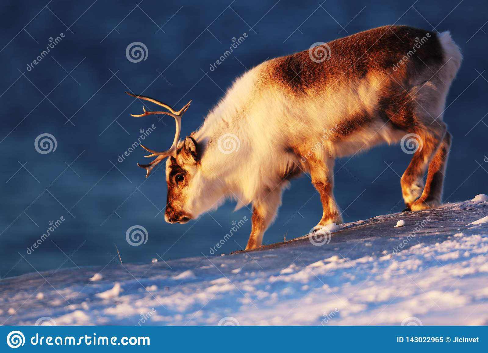 Приполюсный северный олень на замороженном море на Свальбарде