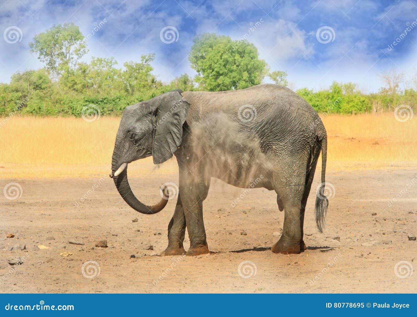 Припудривание себя слона на сухих равнинах в национальном парке Hwange