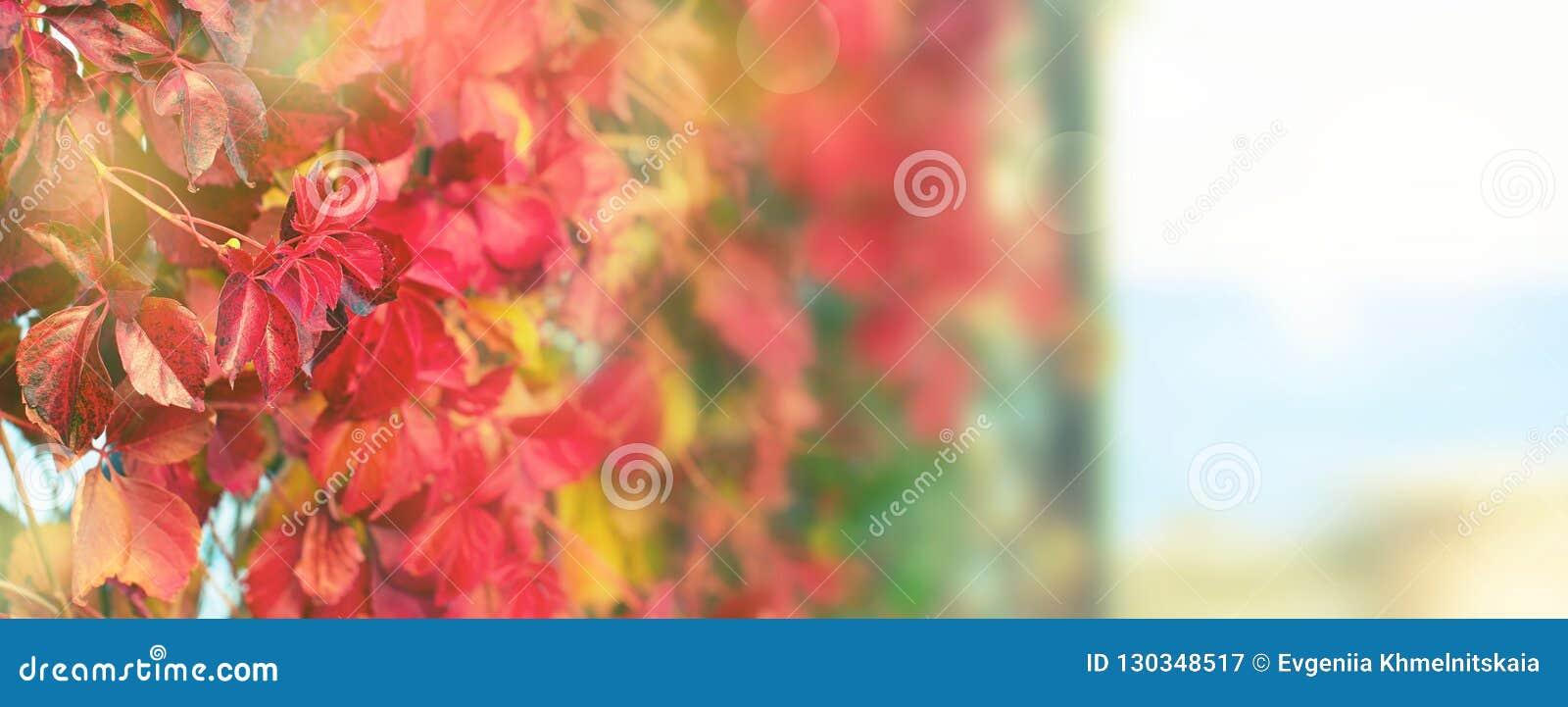 Природный парк листвы завода осени знамени красный на ландшафта осени пляжа фокусе красивого выборочном