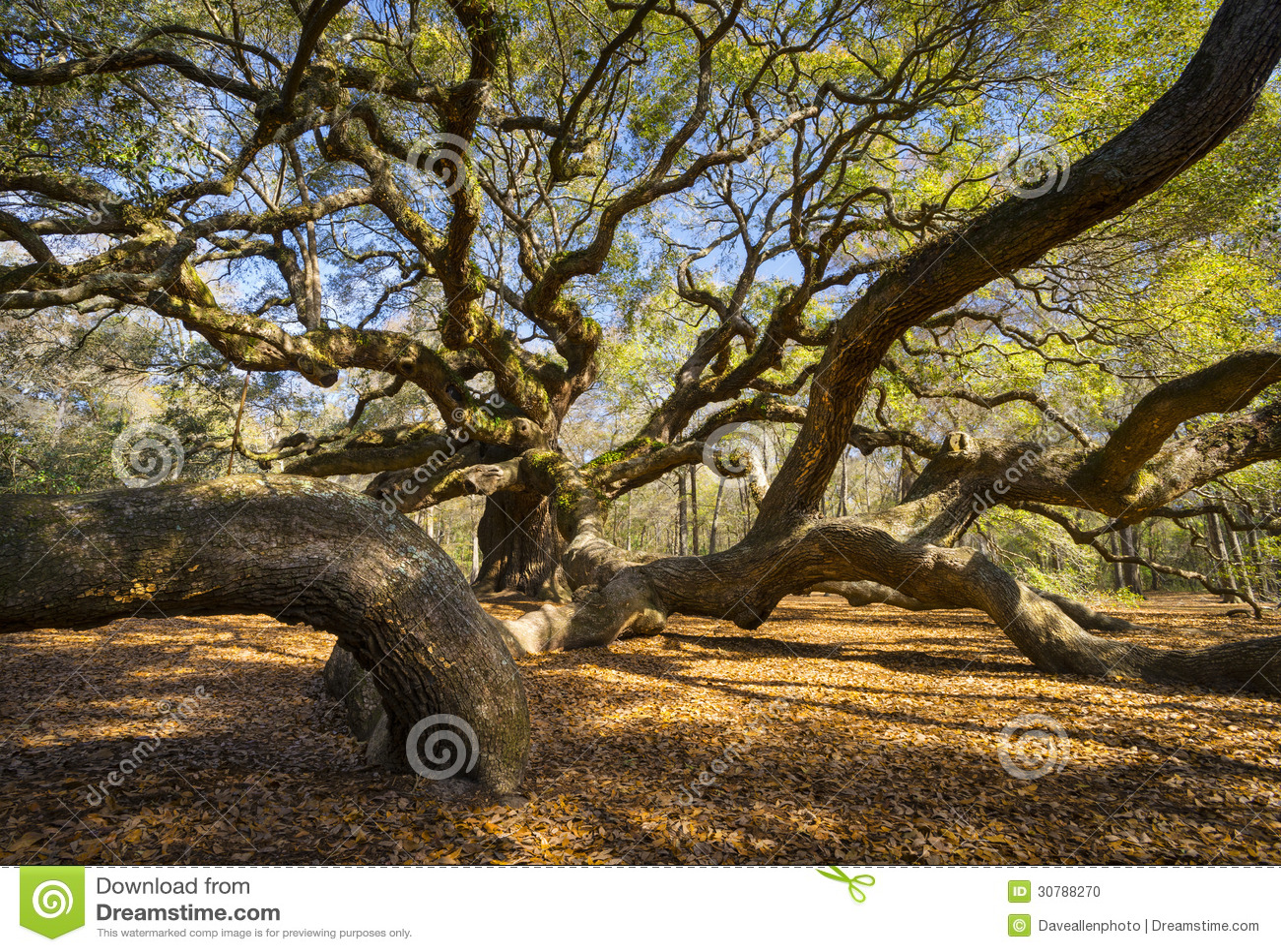 Природа SC Чарлстона дуба Южной Каролины Lowcountry Анджела сценарная