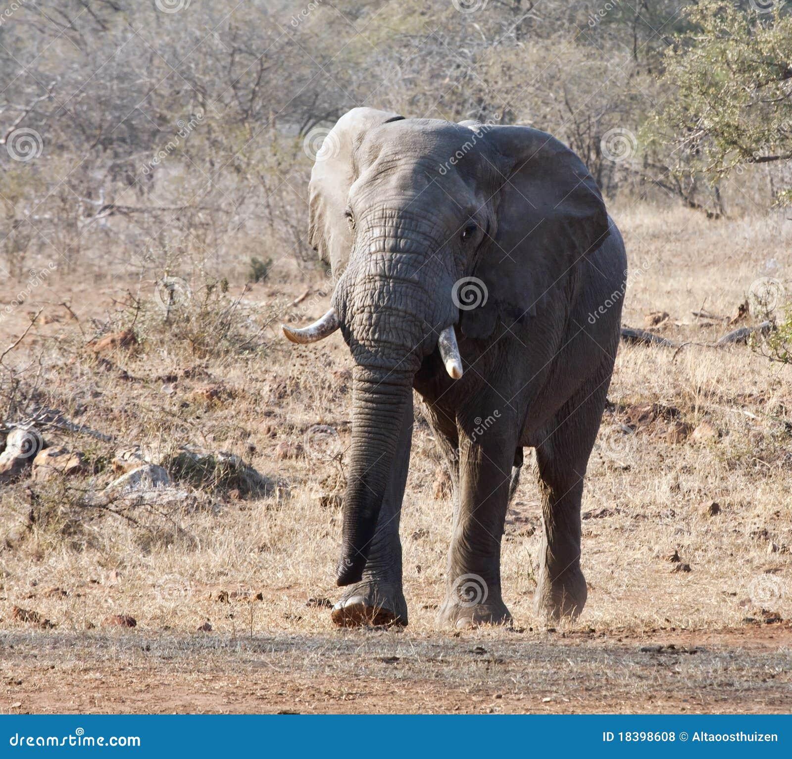 причаливая бивни слона быка большие
