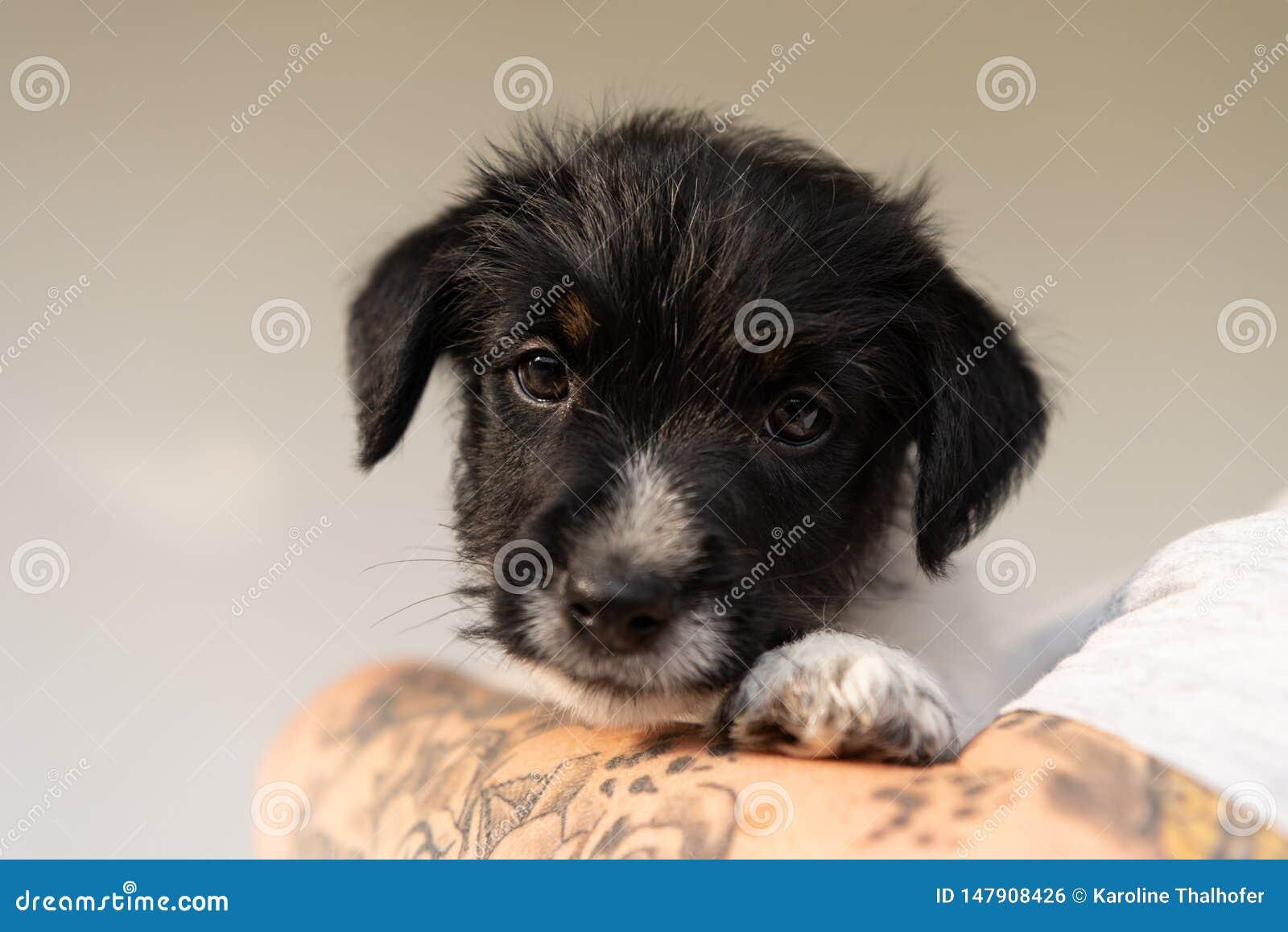 Приятельство между владельцем и его молодой собакой щенка терьера Джек Рассела Обработчик носит его щенок 7 5 недель старых