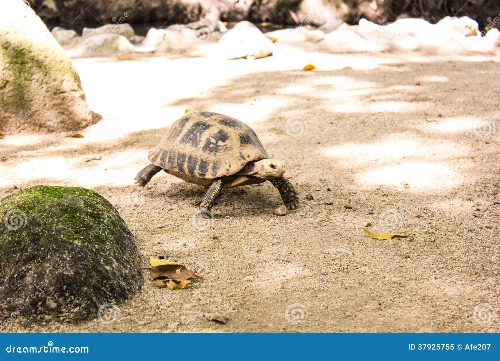 Прогулка черепахи портрета на земле