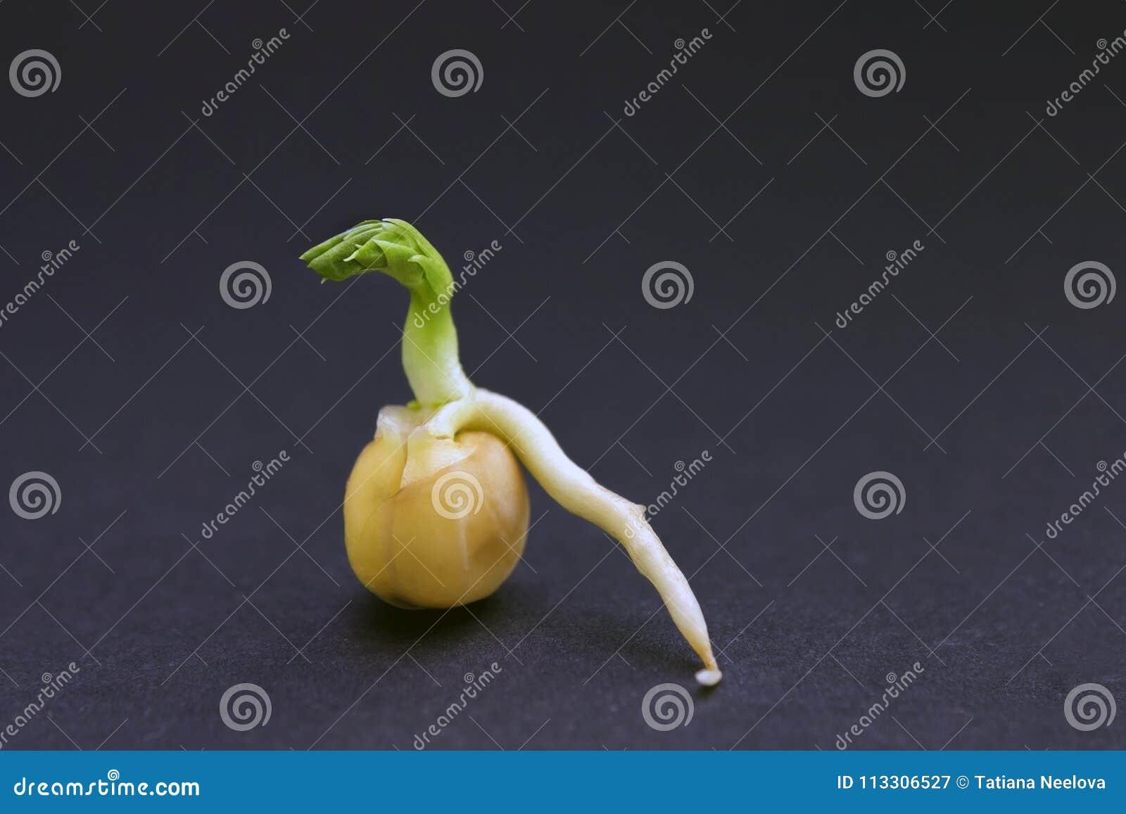 Прорастание семени гороха Росток зеленого гороха готовый для саженца желтый цвет весны лужка одуванчиков предпосылки полный