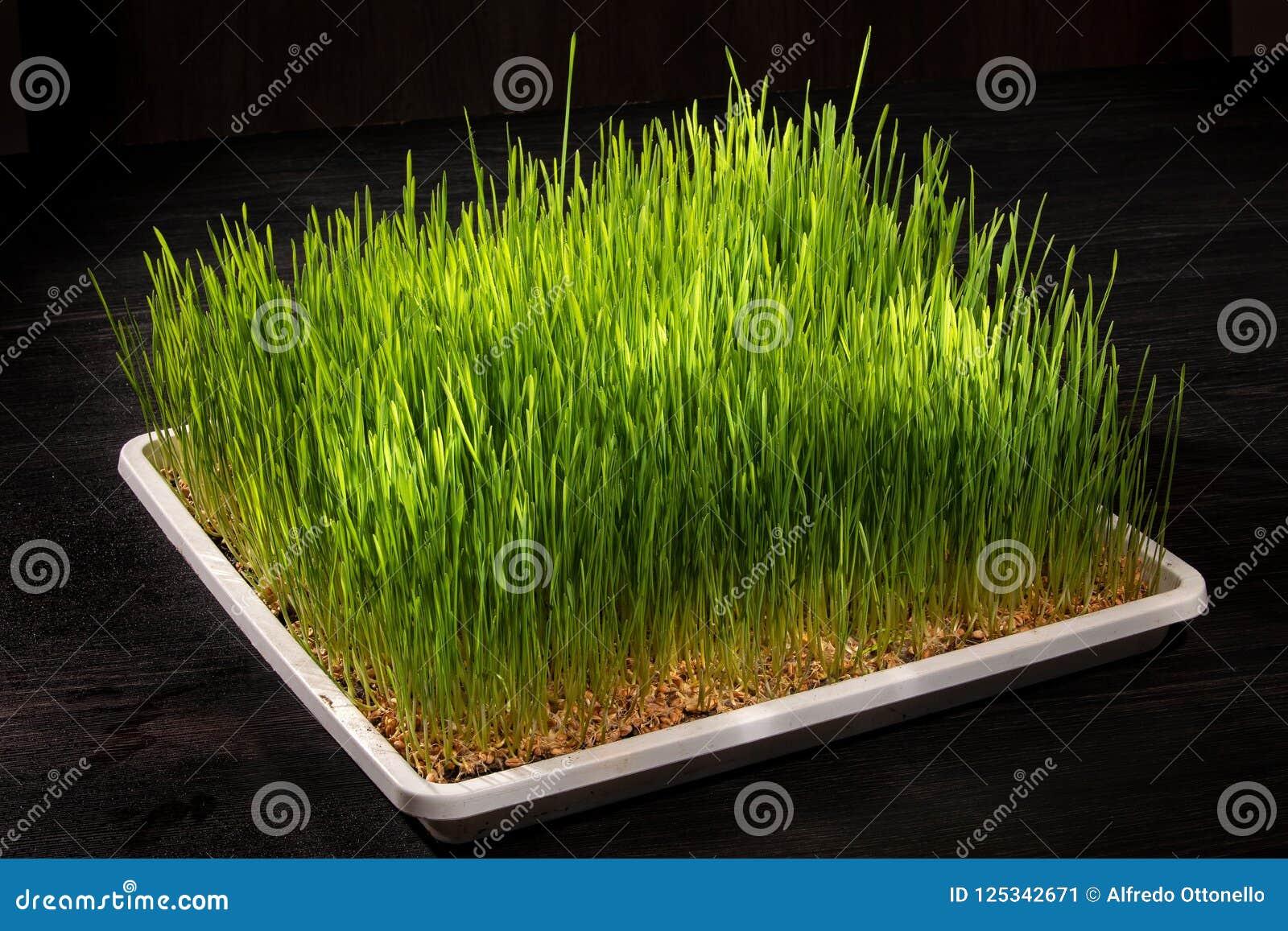 Прорастанная пшеница
