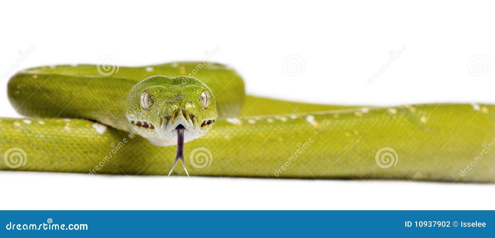против белизны вала питона зеленого цвета предпосылки