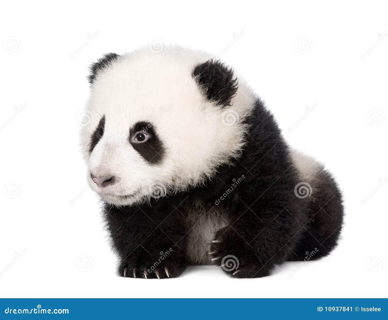 против белизны гигантской панды предпосылки гуляя