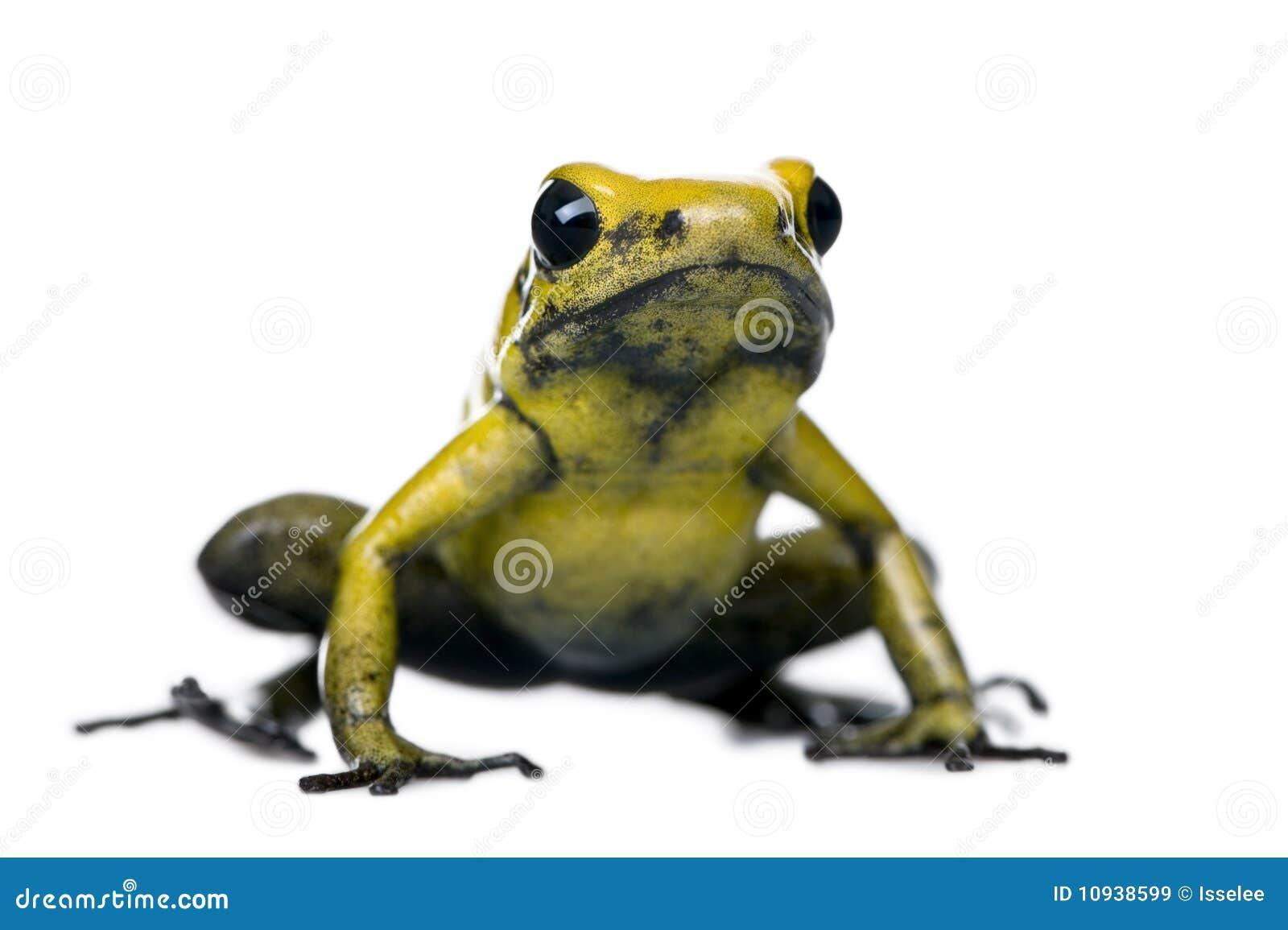 против белизны отравы лягушки предпосылки золотистой