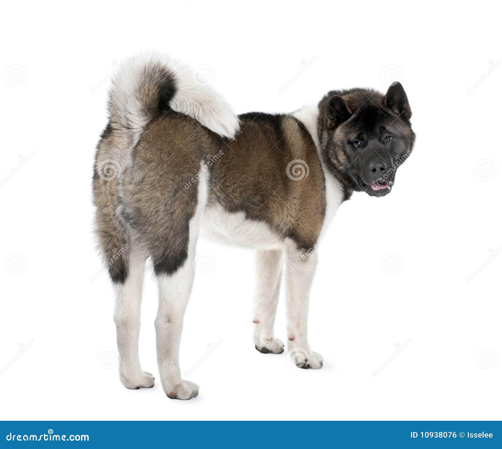 против белизны портрета собаки предпосылки осиплой