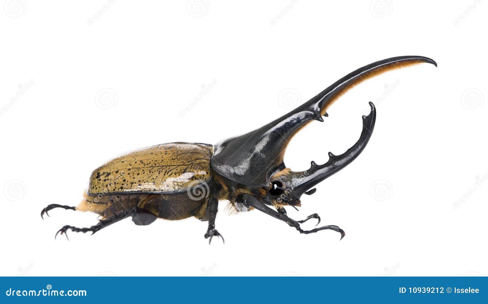 против белизны hercules жука предпосылки
