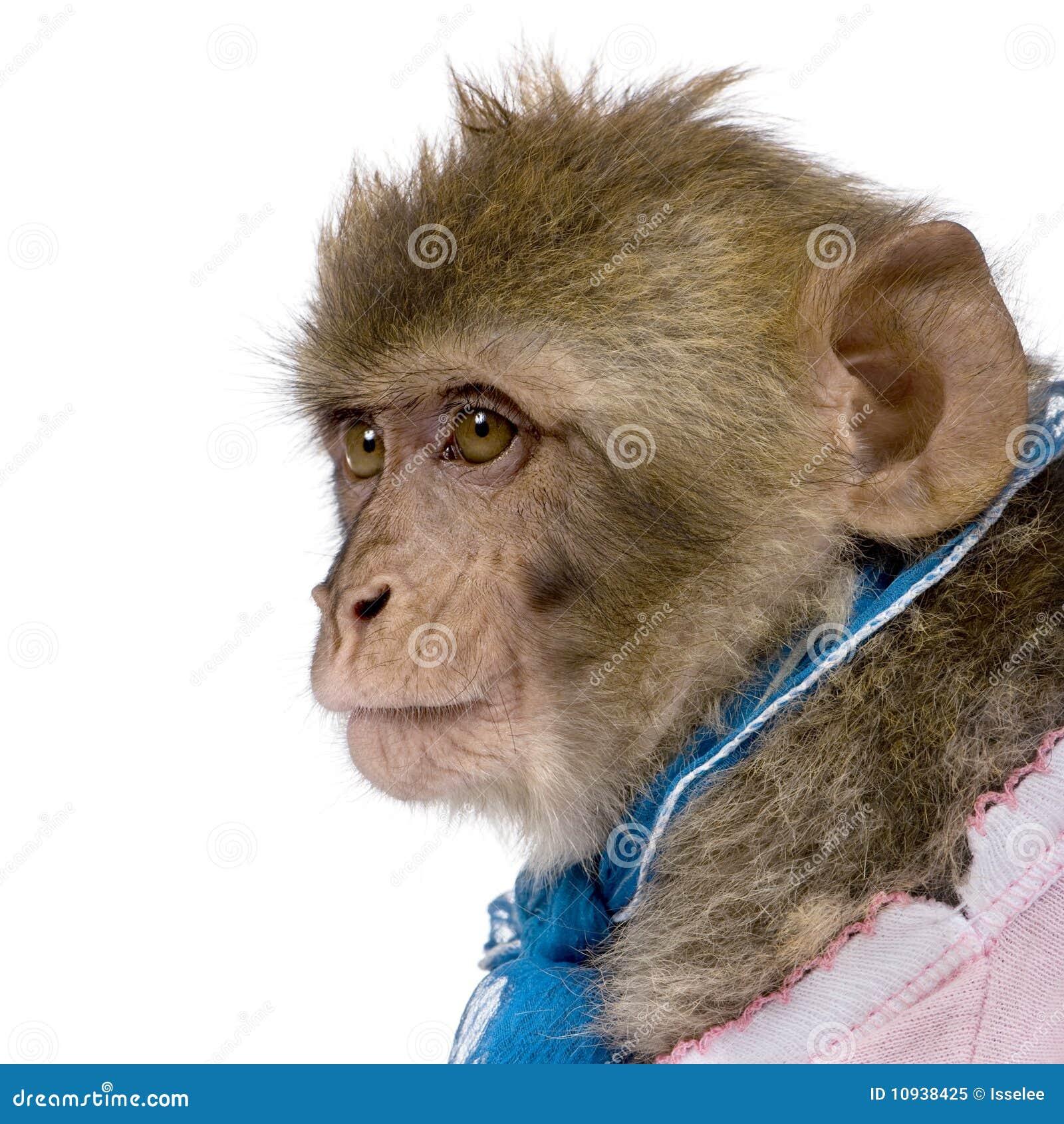 против белизны macaque barbary предпосылки