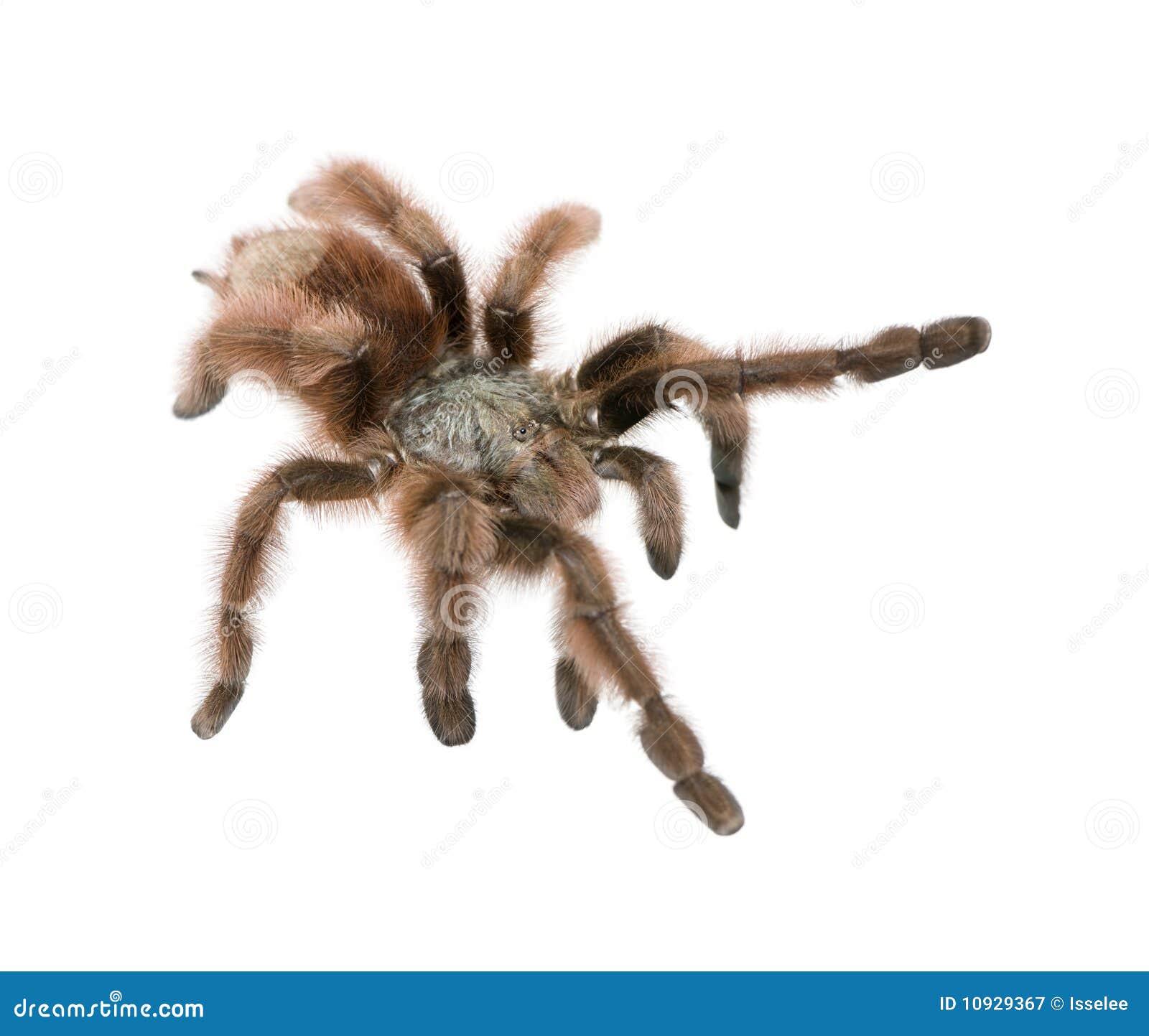 против белизны tarantula предпосылки